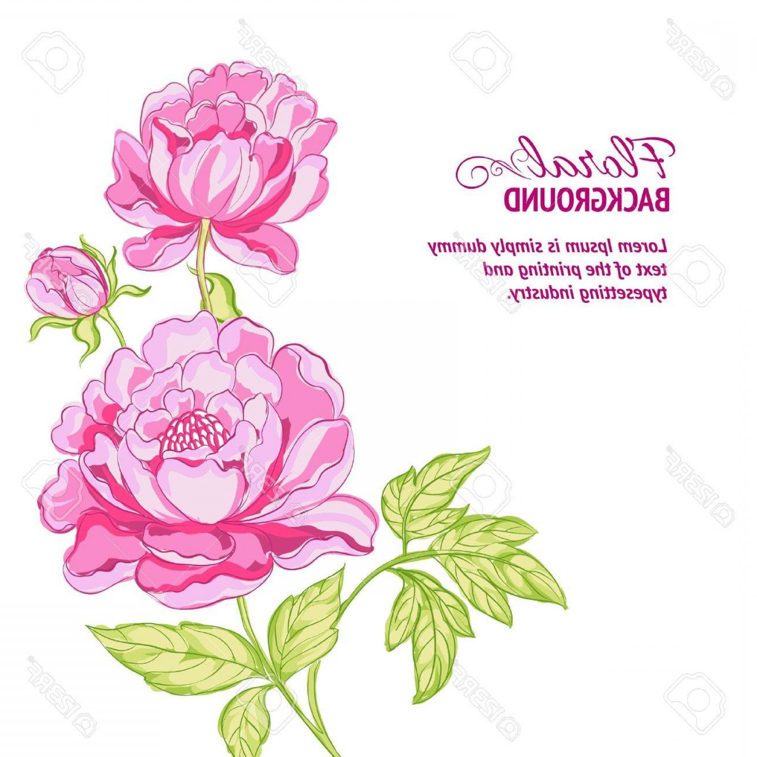 Pink Peony Vector: Photopink Peonies Background With Sample Text Vector Illustration