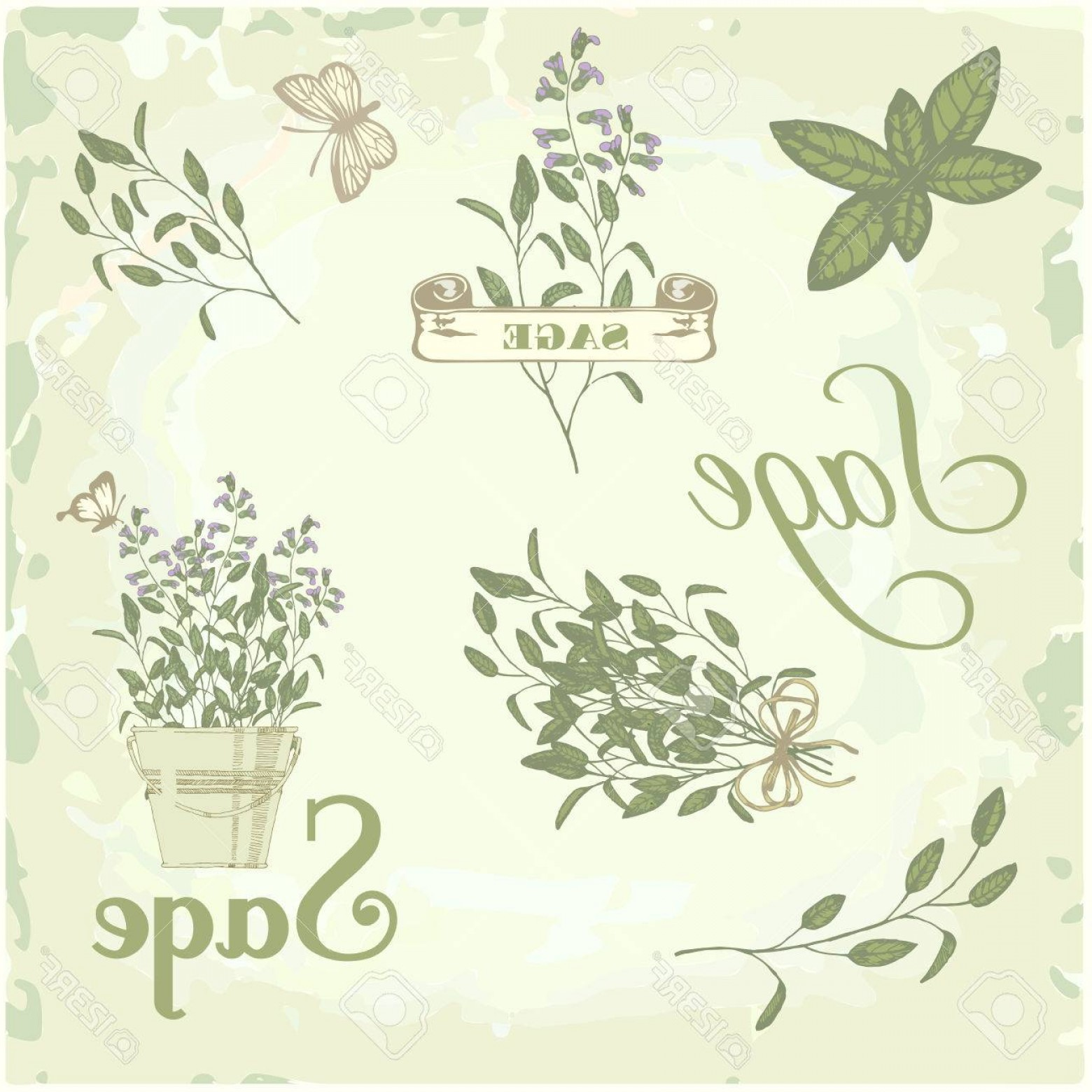 Sage Plant Vector: Photosage Salvia Clary Sage Herb Plant Background Packaging Calligraphy