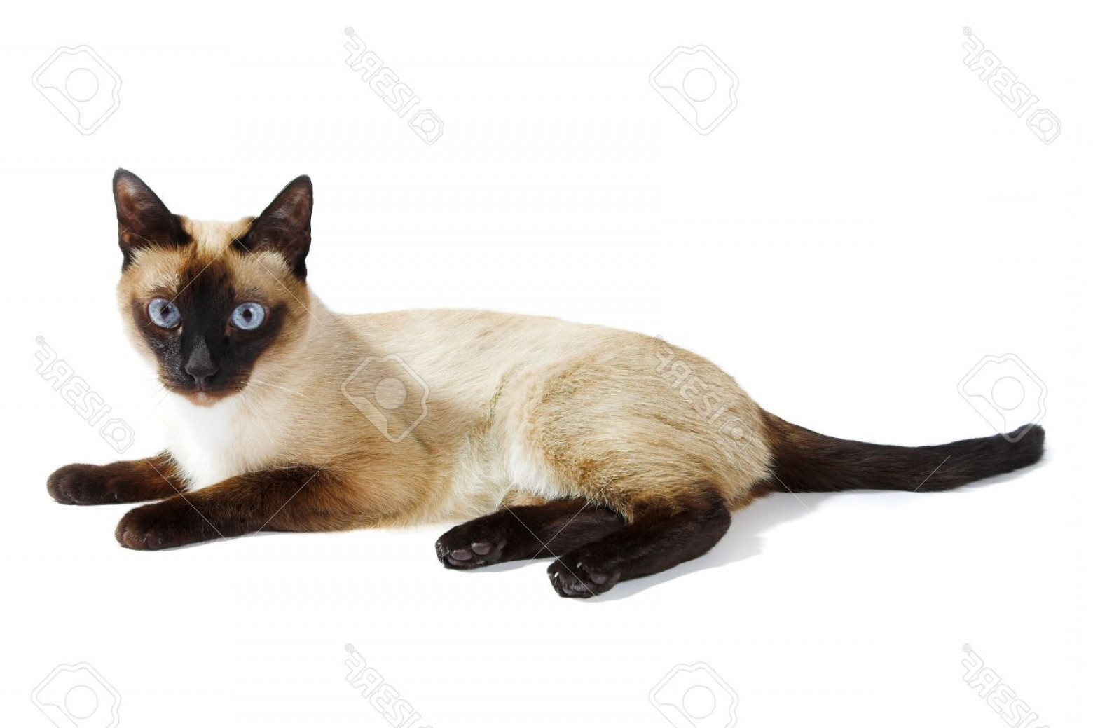 Siamese Cat Vector Transparent Background: Photosiamese Cat Isolated On The White Background