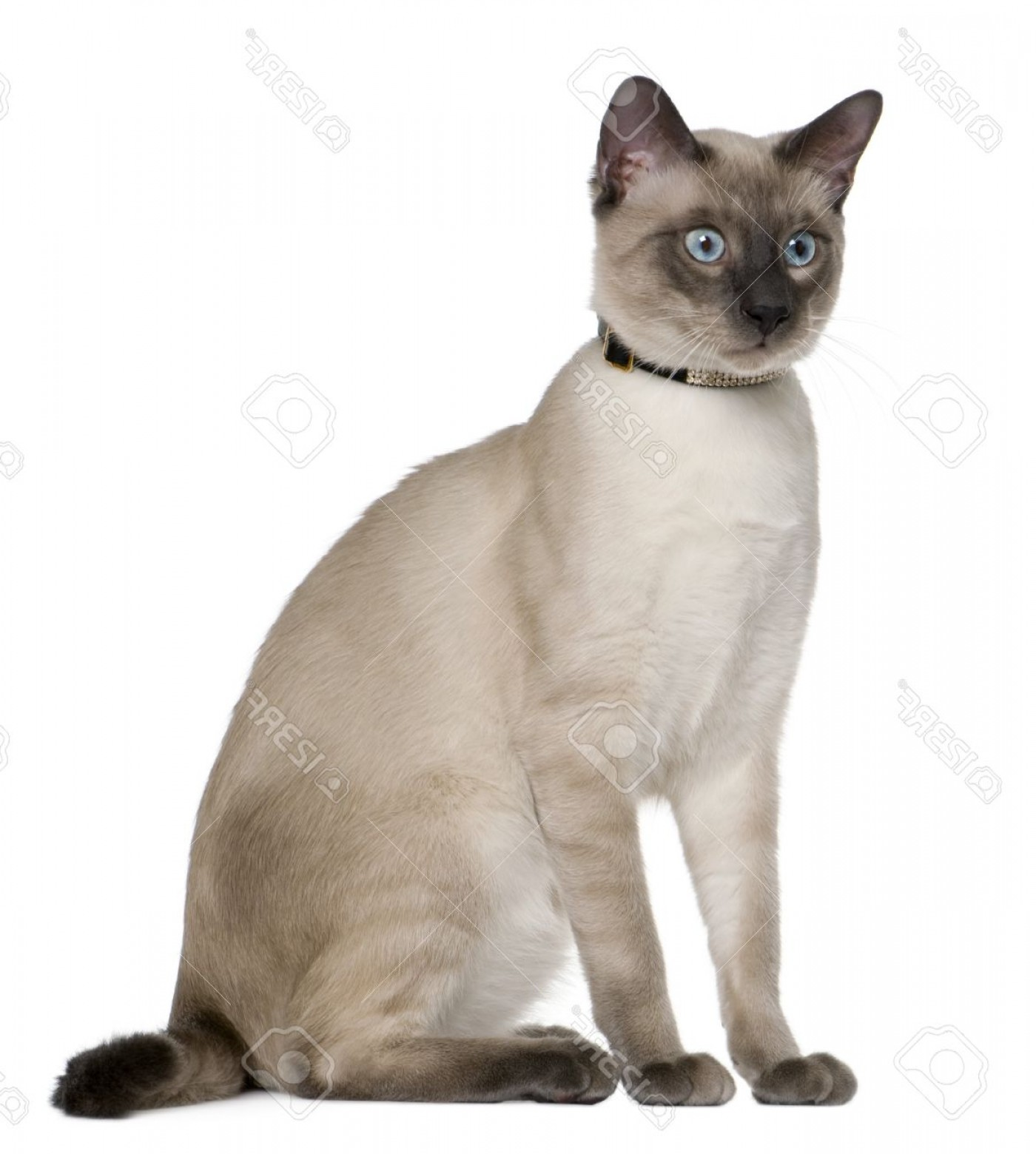 Siamese Cat Vector Transparent Background: Photosiamese Cat Months Old Sitting In Front Of White Background