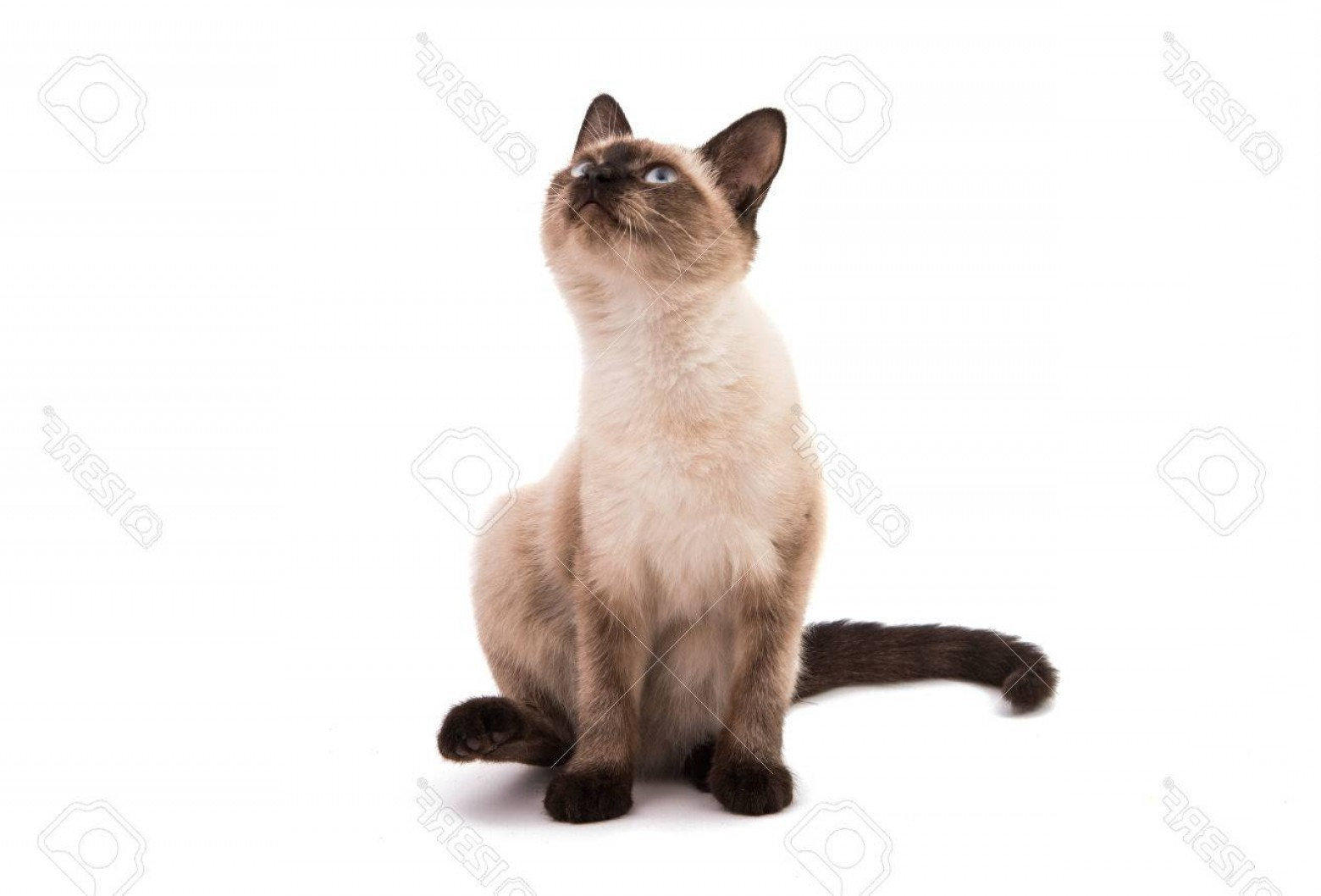 Siamese Cat Vector Transparent Background: Photosiamese Cat On A White Background