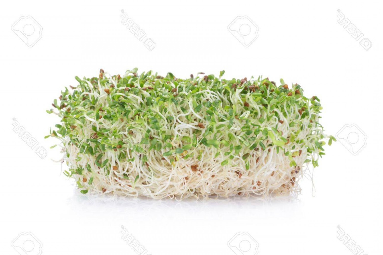 Alfalfa Sprouts Vector: Photosprouted Alfalfa Seeds On A White Background