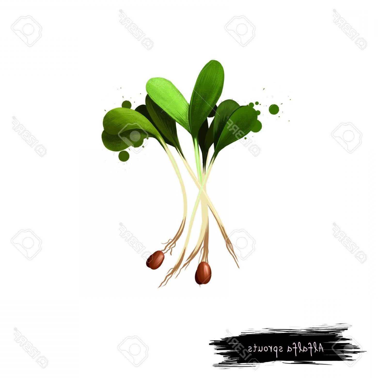 Alfalfa Sprouts Vector: Photostock Illustration Alfalfa Sprouts Medicago Sativa Or Lucerne Digital Art Illustration Isolated On White Organic Health