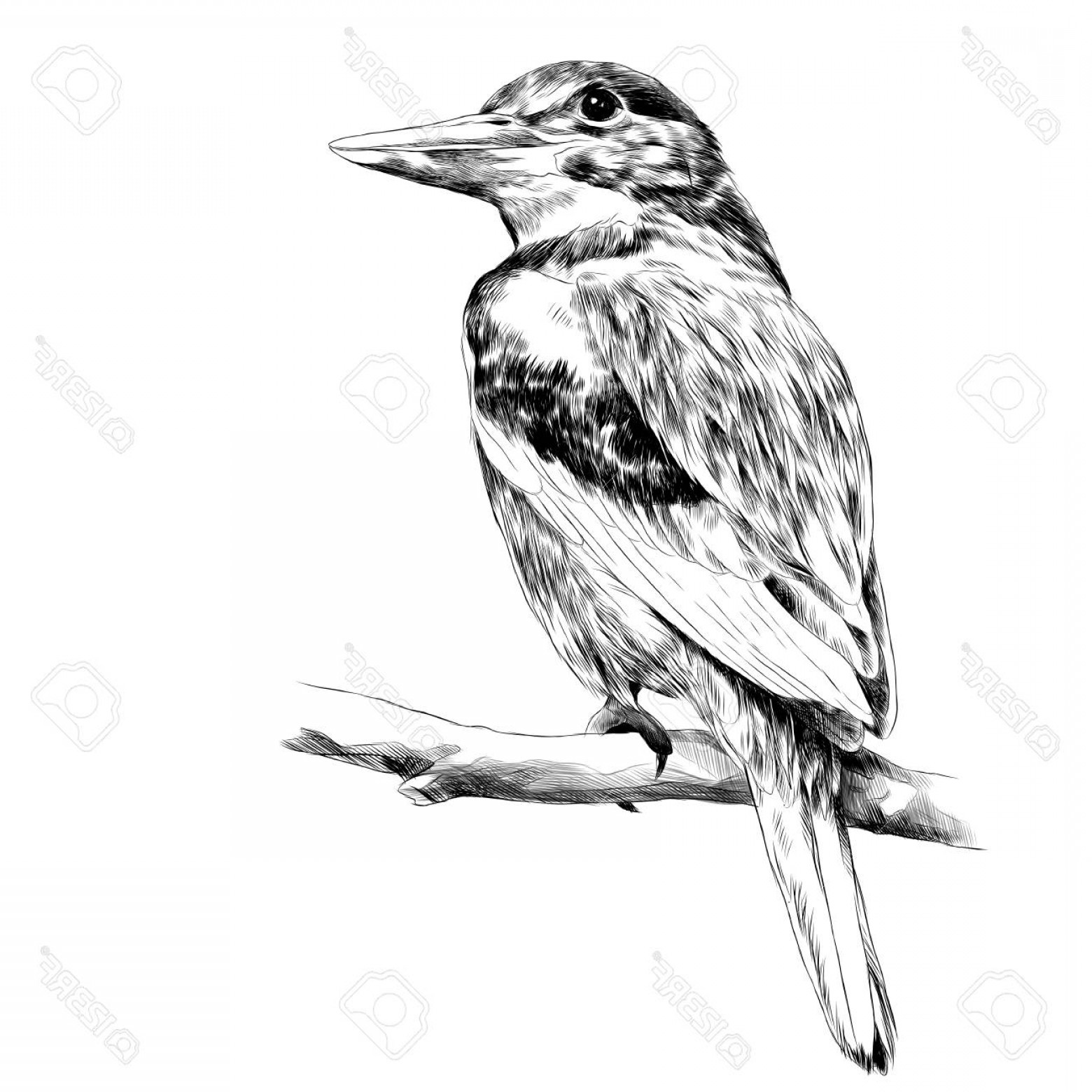 Black And White Bird Free Vector Graphics: Photostock Vector Alcyone Bird Sitting On A Branch Sketch Vector Graphics Black And White Drawing