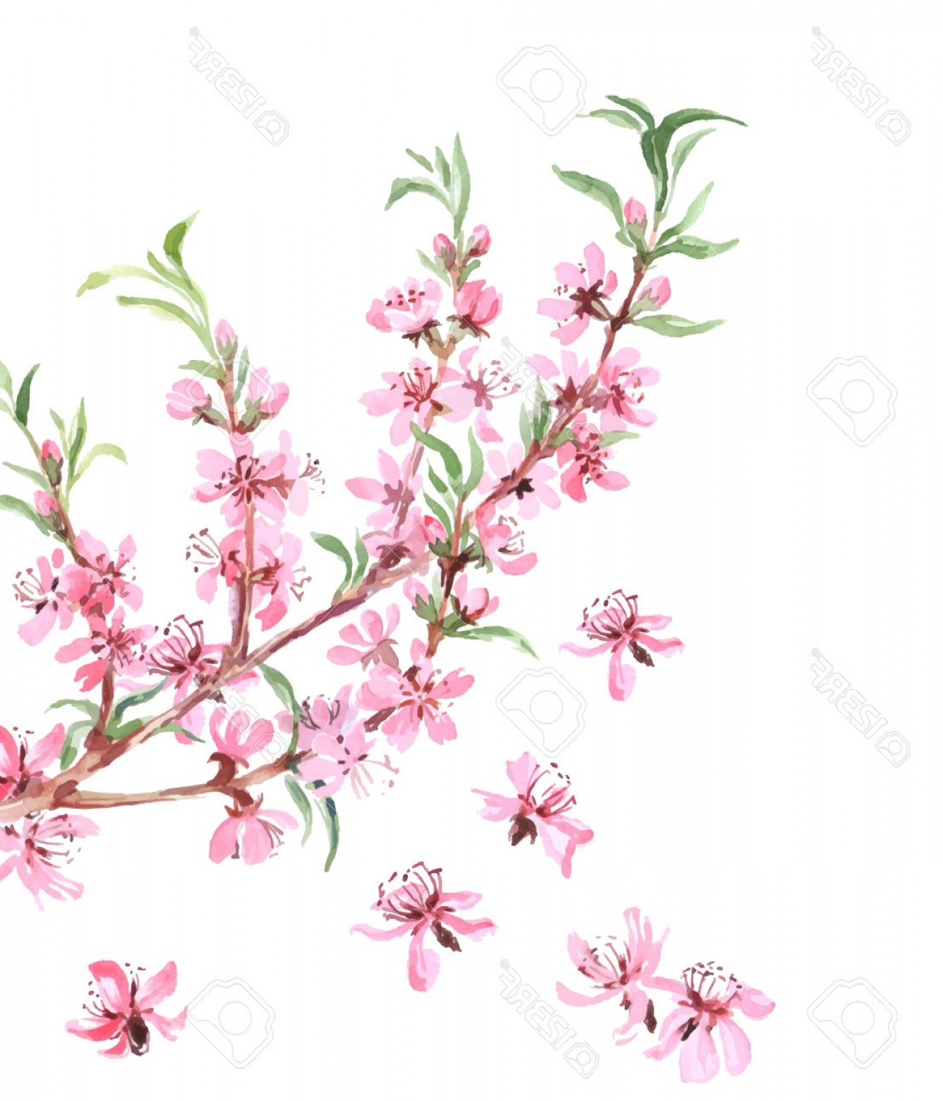 Almond Tree Vector: Photostock Vector Almonds Tree Pink Flowers Close Up With Branch Isolated On White Background Vector Illustration