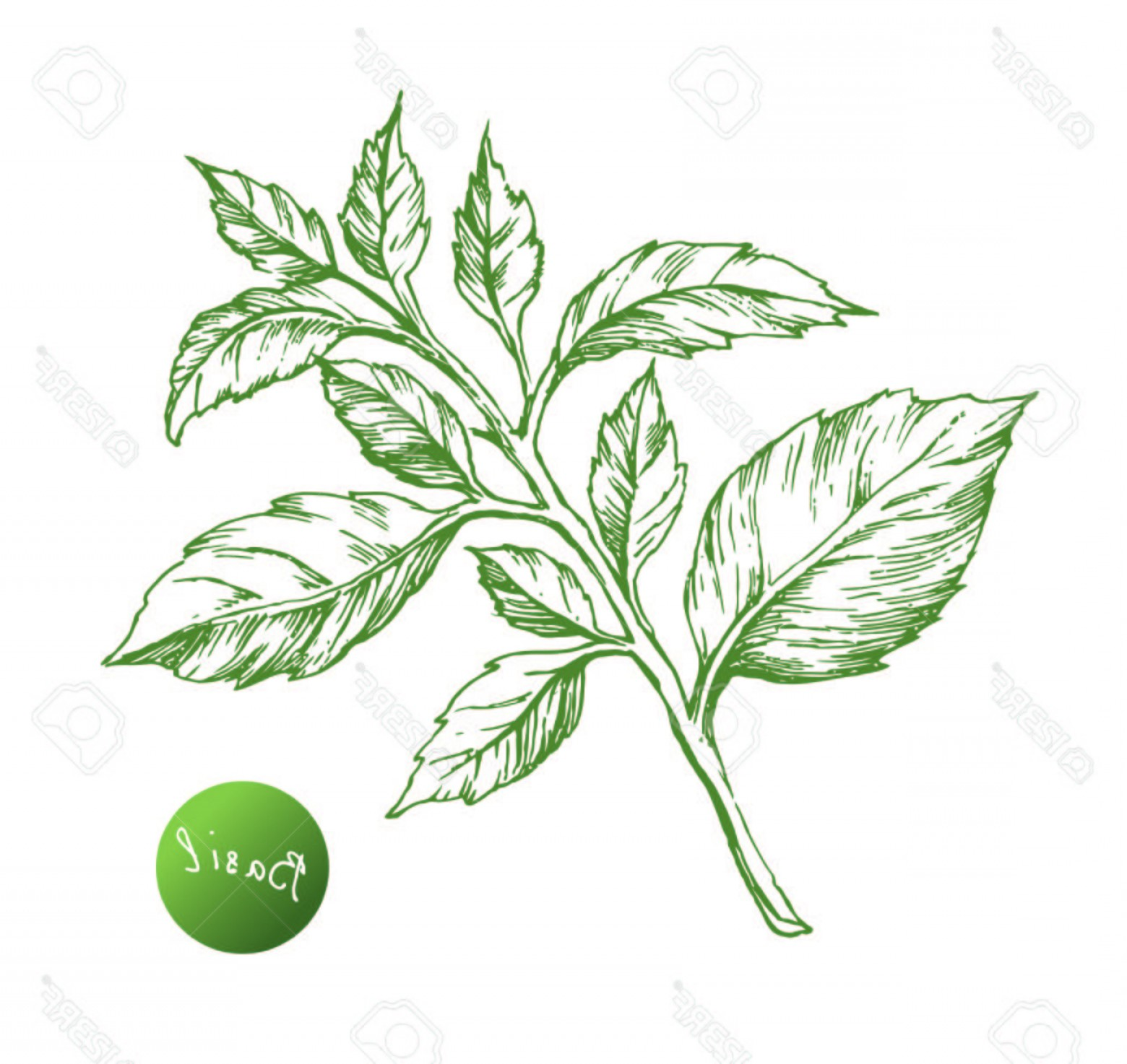 Basil Vector: Photostock Vector Basil Vector Drawing Isolated Basil Leaves Herbal Engraved Style Illustration Cooking Spicy Ingredie