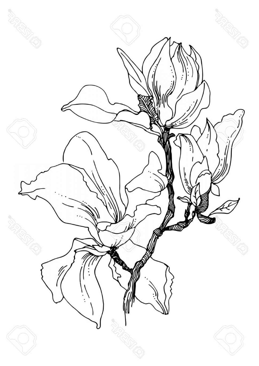Magnolia Black And White Vector: Photostock Vector Beautiful Big Magnolia Flowers On A Twig Black And White Vector Illustration