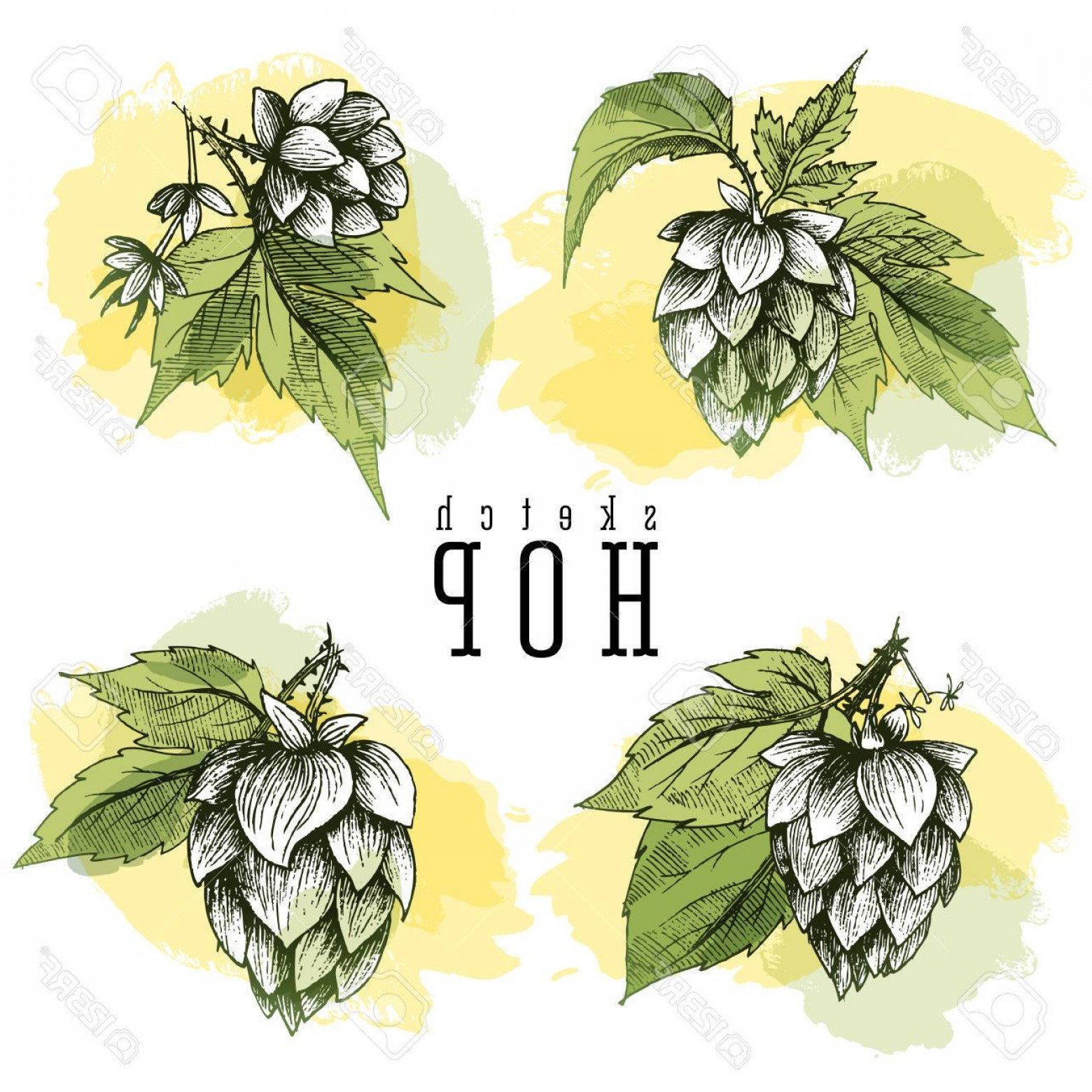 Beer Hops Vector: Photostock Vector Beer Hops Set Of Hand Drawn Hops Branches With Leaves Cones And Hops Flowers Color Sketch And Engr