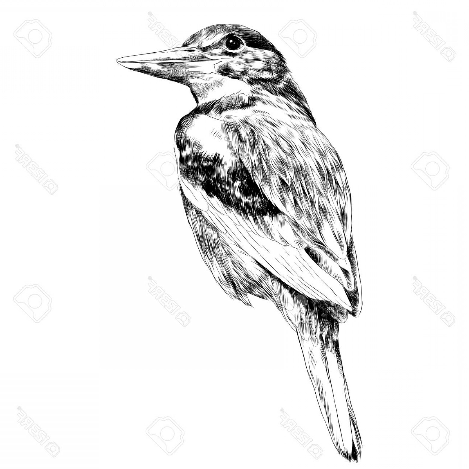 Black And White Bird Free Vector Graphics: Photostock Vector Bird Alcyone Sketch Vector Graphics Black And White Drawing
