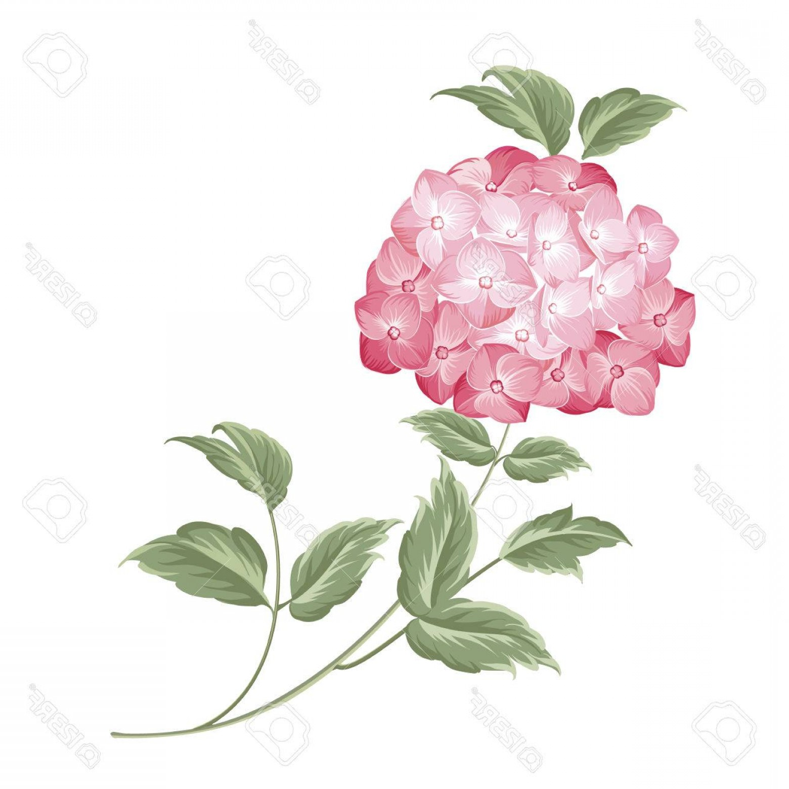 Vector Mop Flower: Photostock Vector Blooming Flower Hydrangea On White Background Single Hortensia Flower Mop Head Hydrangea Flower Isol