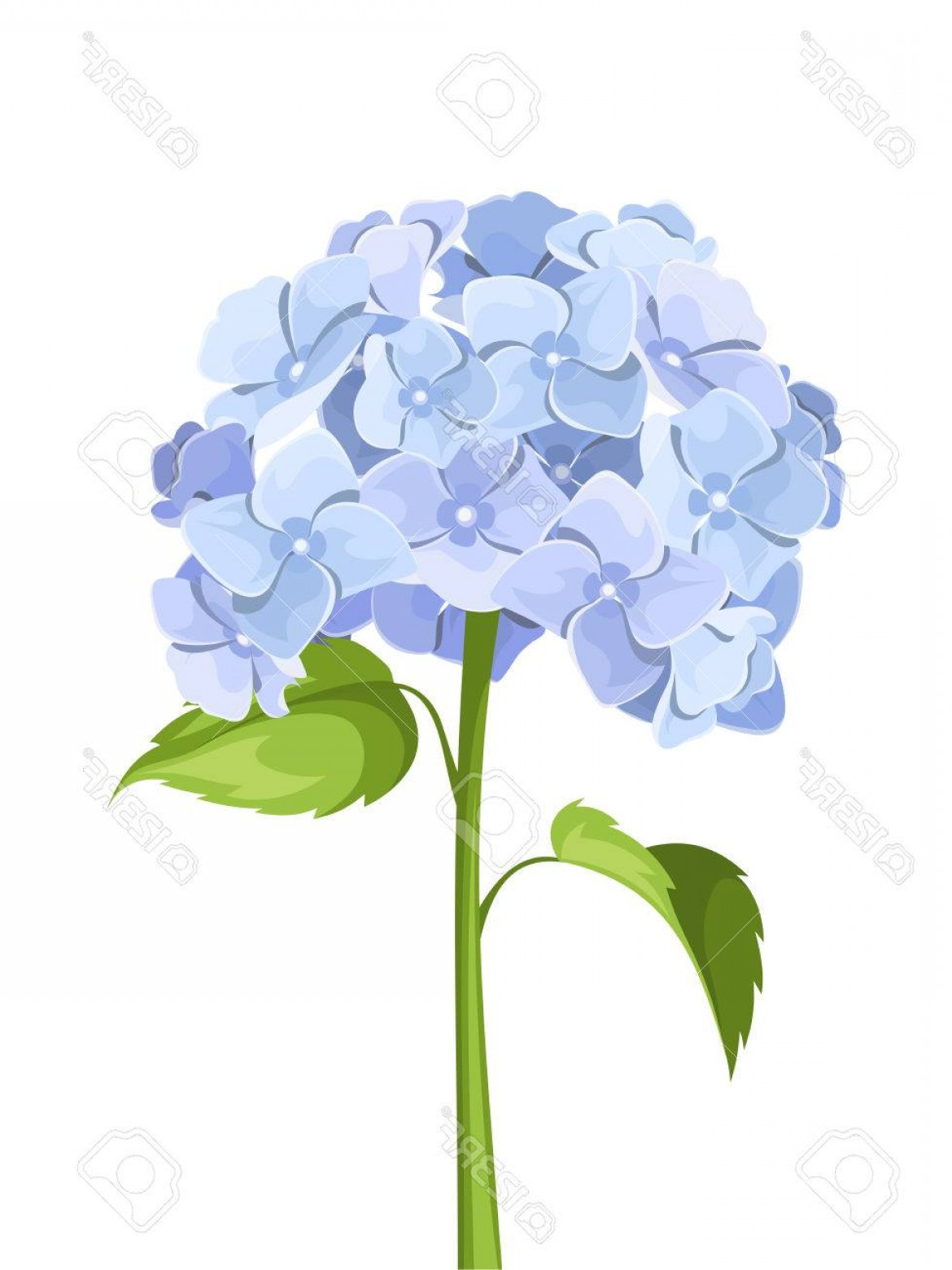 Hydrangea Vector Graphics: Photostock Vector Blue Hydrangea Flowers Vector Illustration