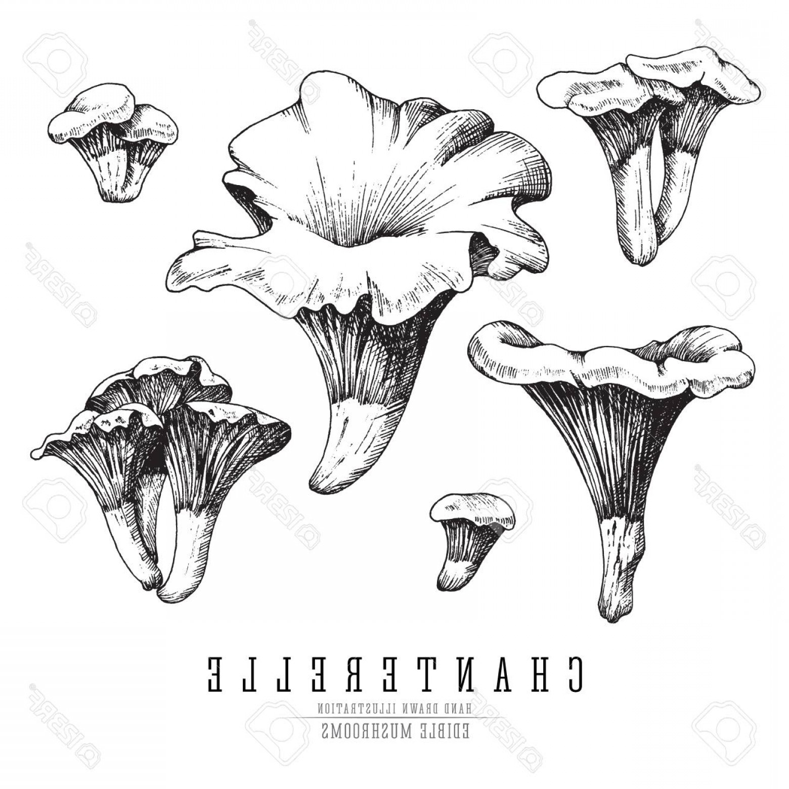 Chanterelle Mushrooms Vector: Photostock Vector Chanterelle Mushrooms Vector Sketch Collection Edible Mushroom Isolated Single And Groups Engraving