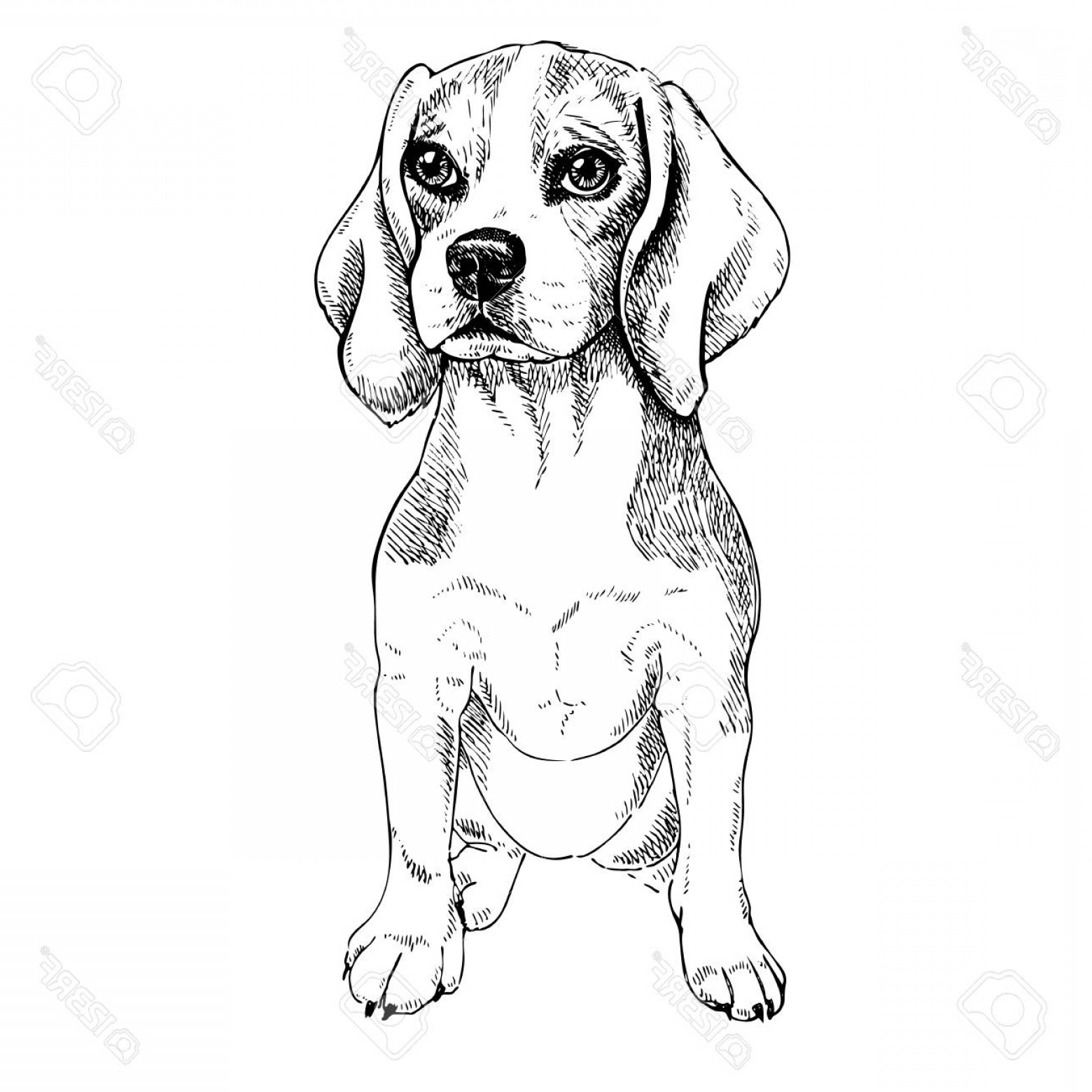 Vector Art Beagle Dog: Photostock Vector Close Up Portrait Of Sitting Beagle Dog Vector Engraved Art Friendly Smilling Puppy Isolated On Whit