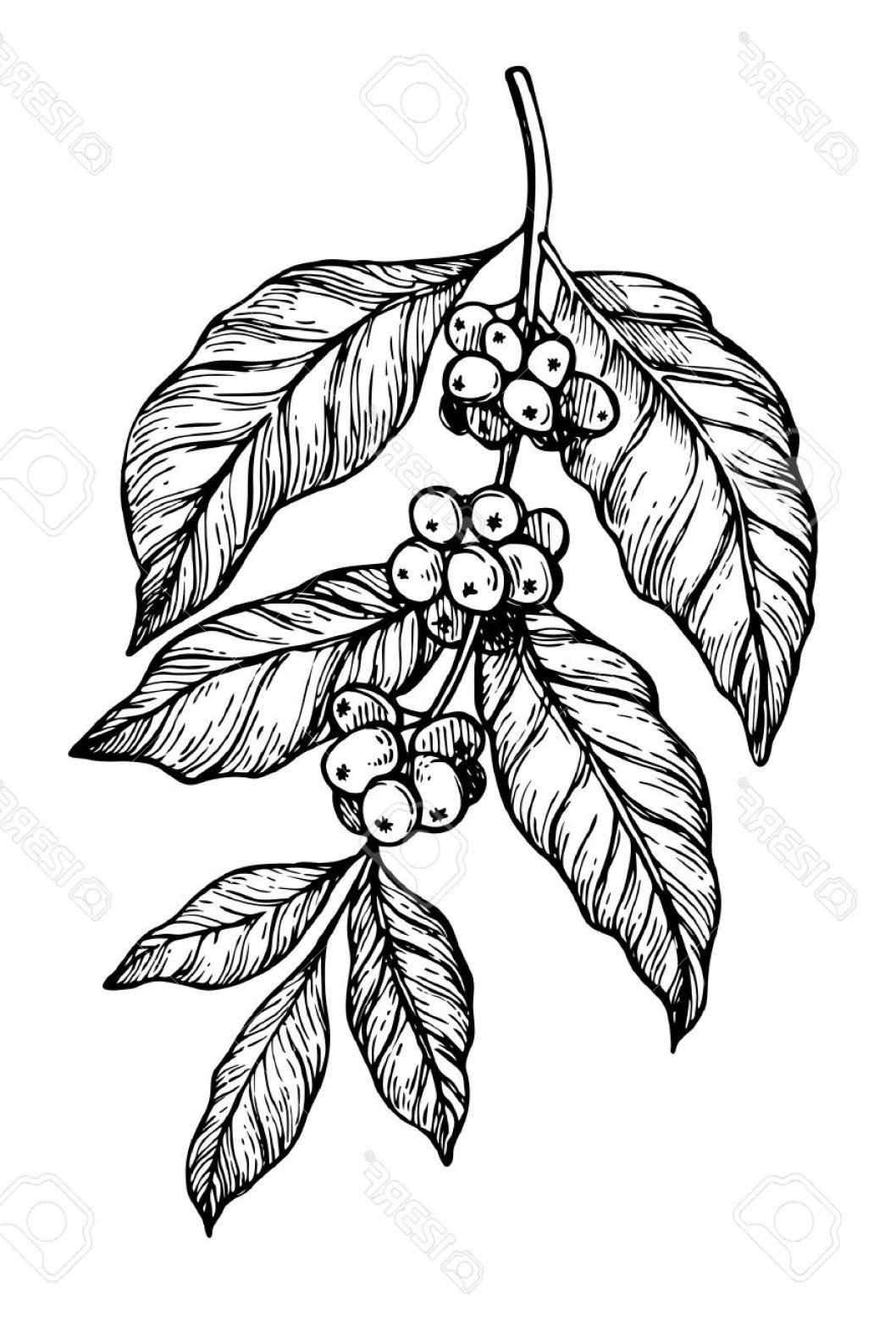 Coffee Tree Vector: Photostock Vector Coffee Tree Branch Freehand Pencil Drawing Isolated On White Background Vector Illustration Cafe Or