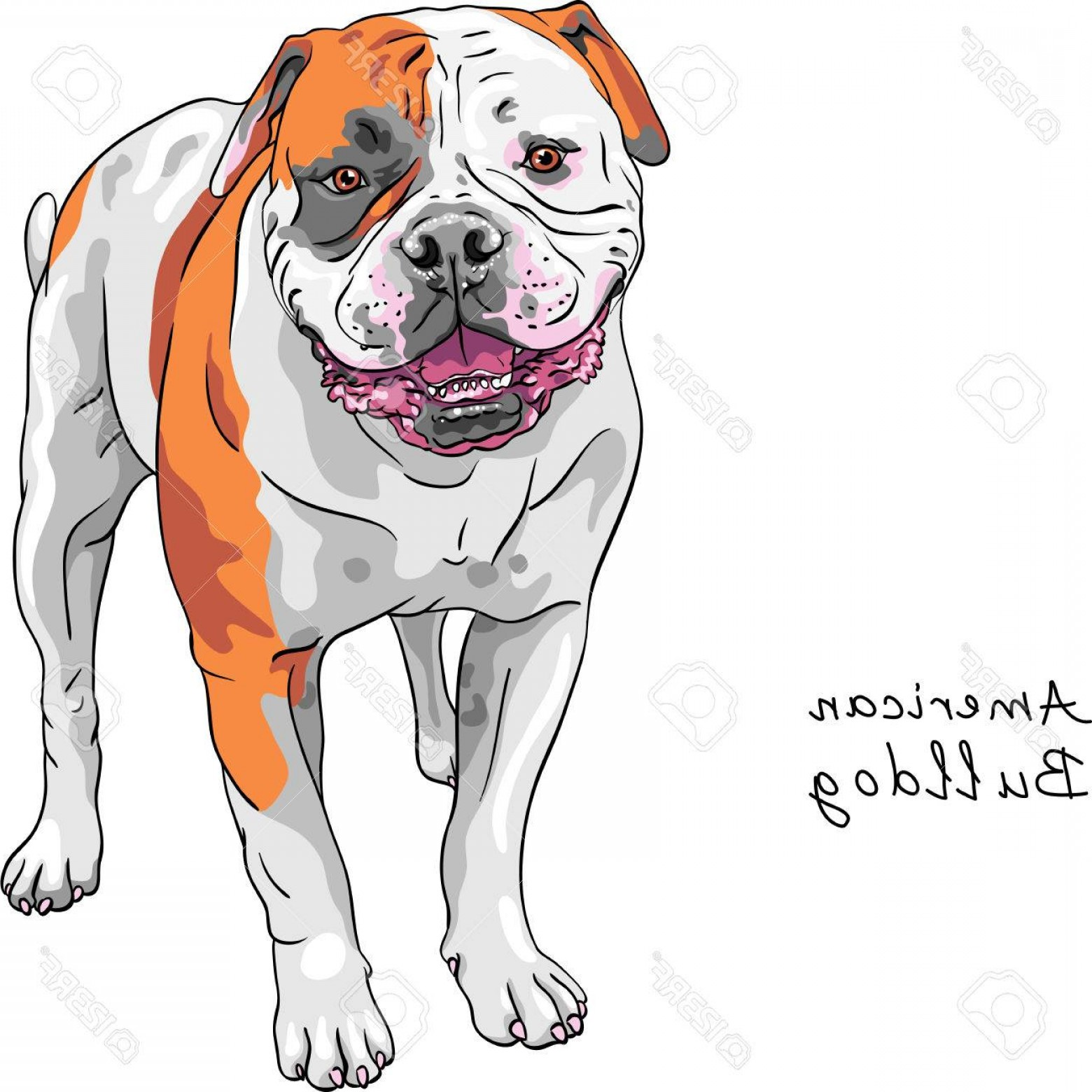 Vector Smiling Bulldog: Photostock Vector Color Sketch Of The Dog American Bulldog Breed Standing And Smiling