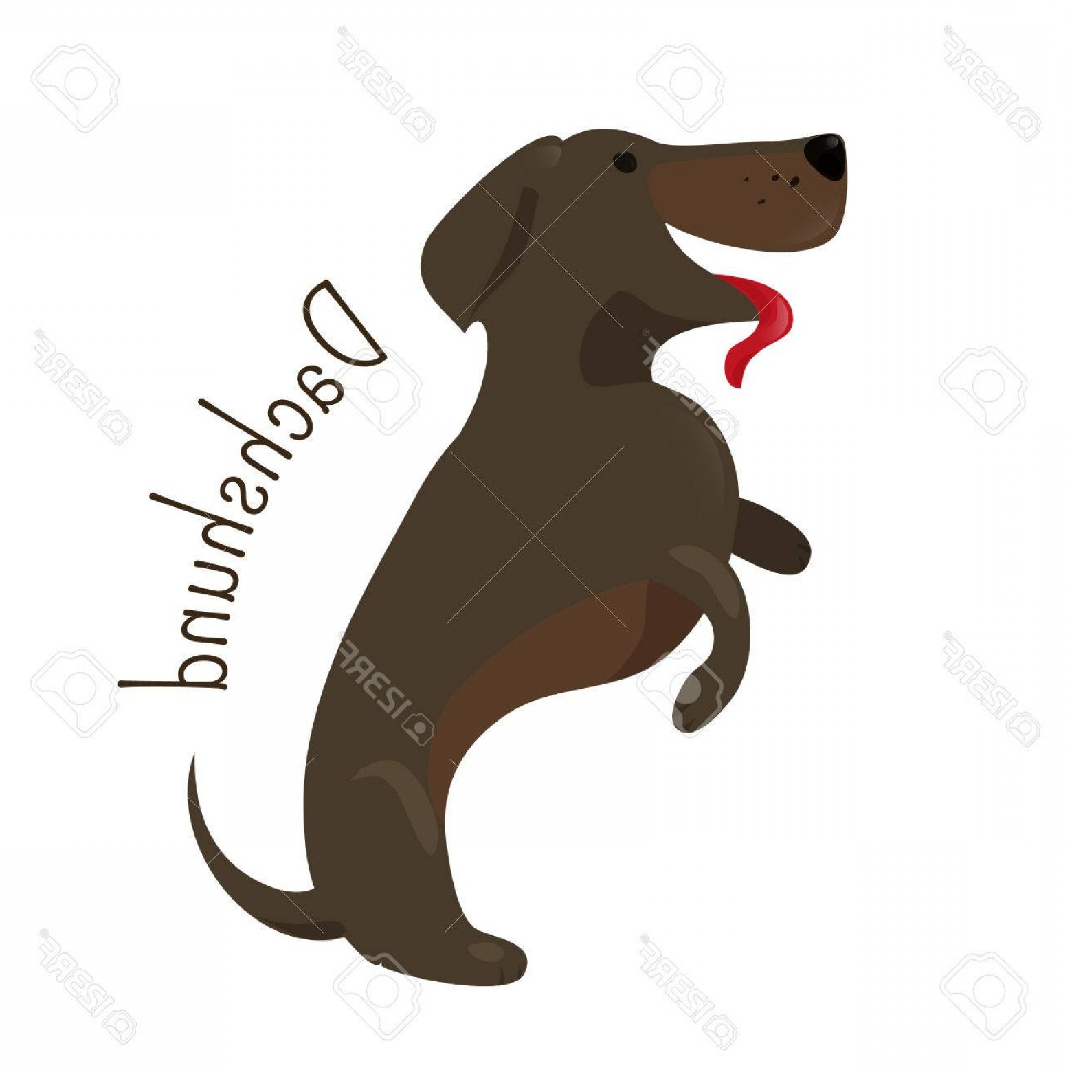 Double Boxer Dog Vector: Photostock Vector Dachshund Isolated Short Legged Long Bodied Hound Type Dog Breed Coat Varieties Smooth Longhaired An