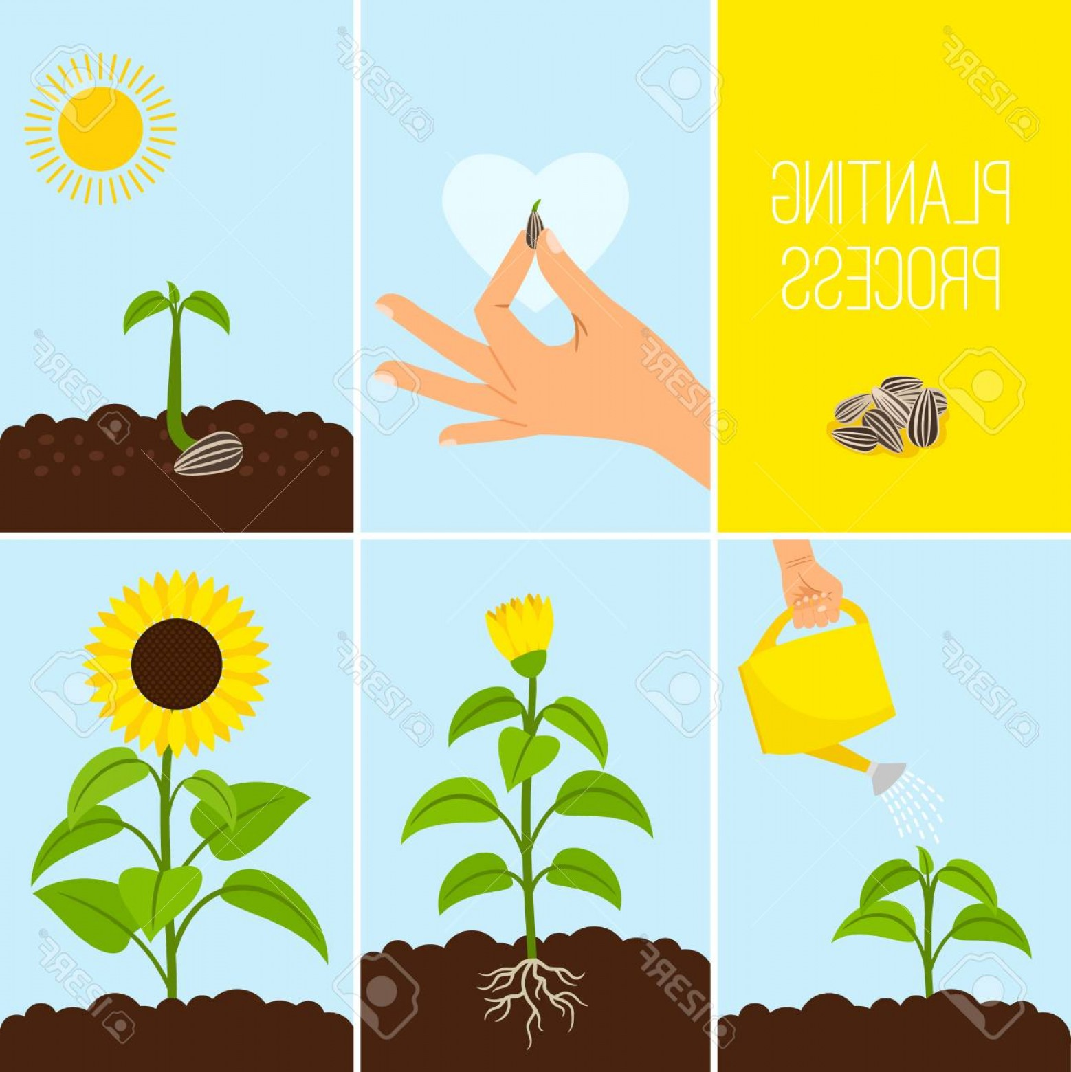 Seed Flower Vectors: Photostock Vector Flower Planting Process Vector Illustration Planting A Seed Watering Growing And Blooming Sunflower