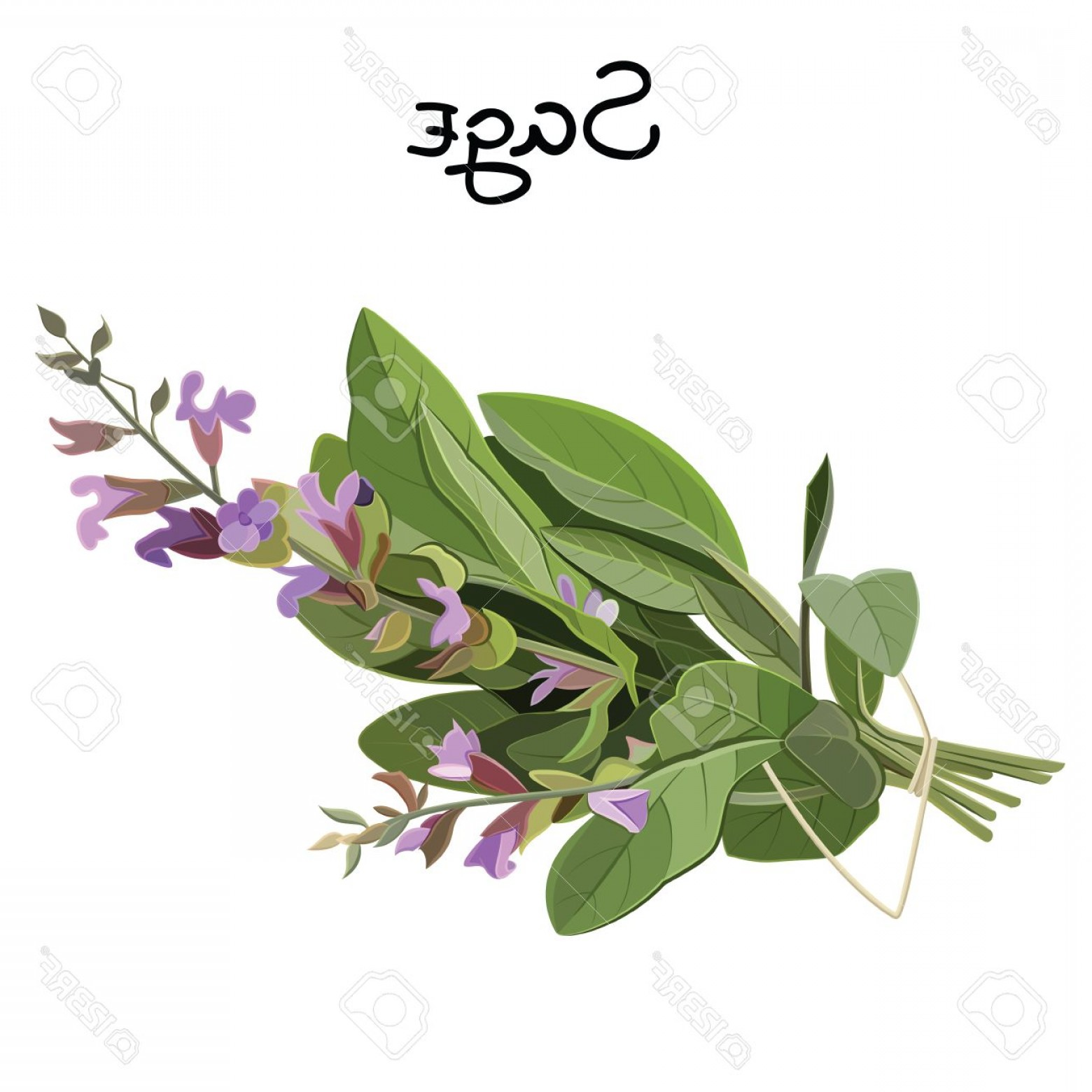 Sage Plant Vector: Photostock Vector Flowering Fresh Sage Sage Herb Vector Illustration