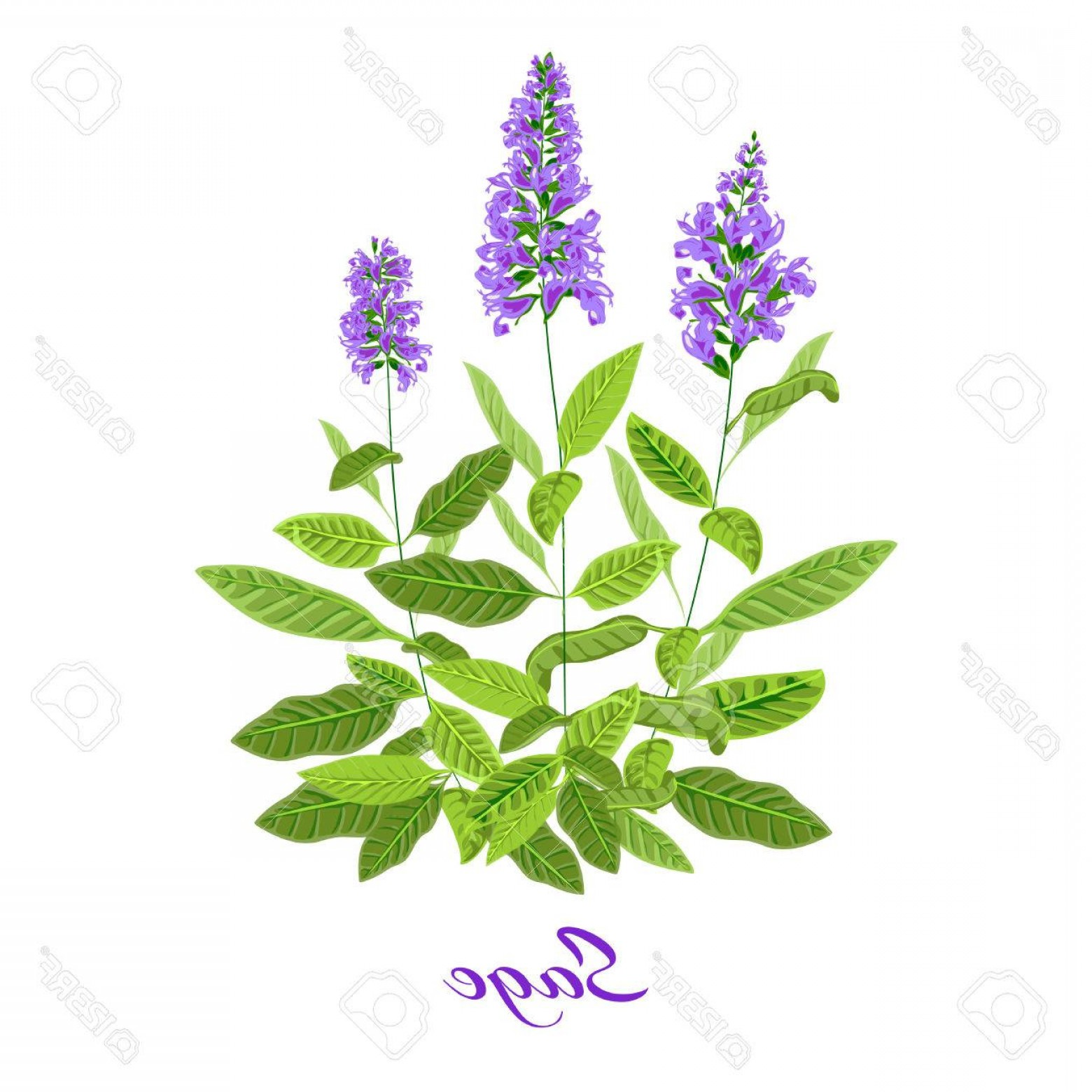 Sage Plant Vector: Photostock Vector Flowering Sage Sage Herb Purple Flowers Vector Illustration Eps