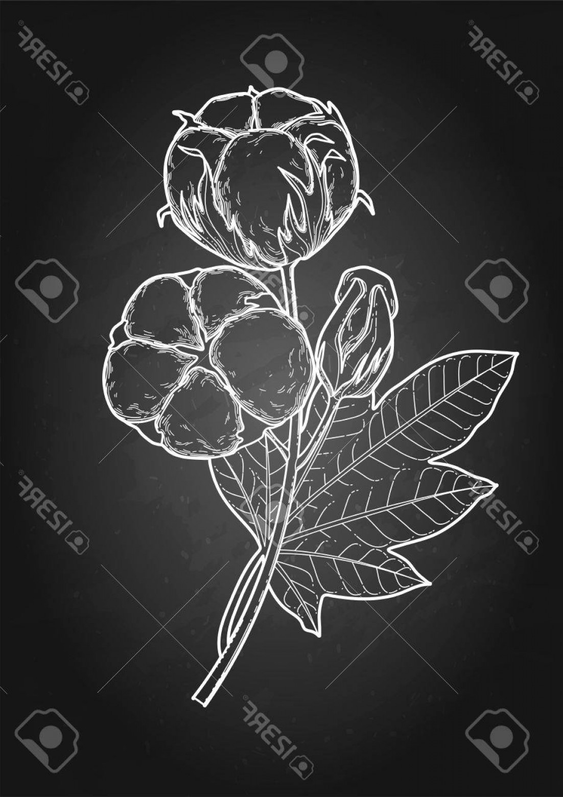 Cotton Vector Graphic: Photostock Vector Graphic Cotton Plant Vector Art Isolated On The Chalkboard