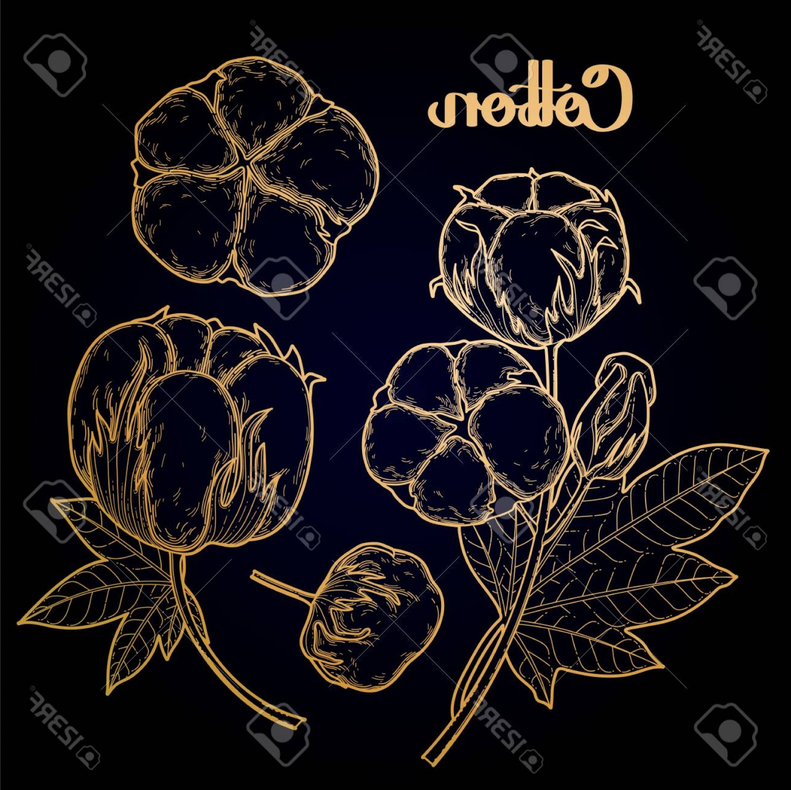 Cotton Vector Graphic: Photostock Vector Graphic Cotton Plants Set Vector Isolated Art In Golden Colors