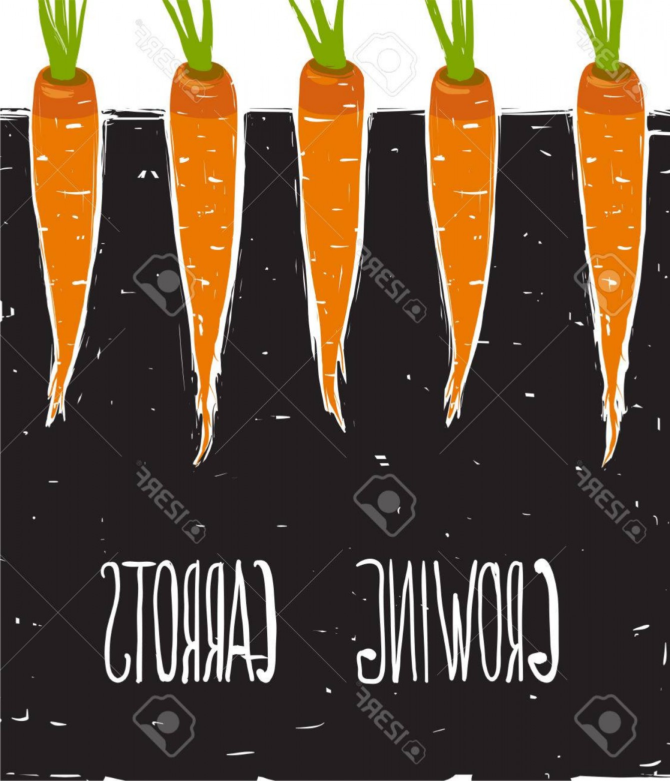 Scratch Y Drawing Vector: Photostock Vector Growing Carrots Scratchy Drawing And Lettering Bed Of Carrots Scribble Illustration Vector Eps