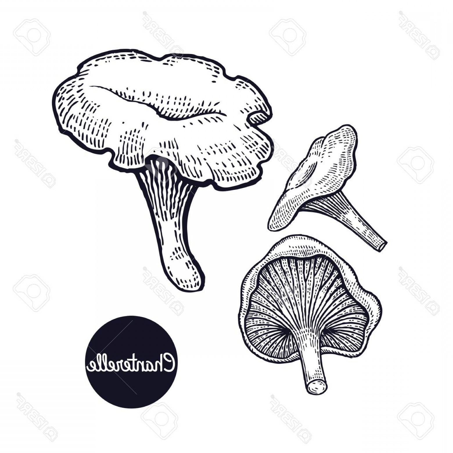 Chanterelle Mushrooms Vector: Photostock Vector Hand Drawing A Gourmet Mushroom Chanterelle Style Vintage Engraving Graphics In Black Ink Isolated O
