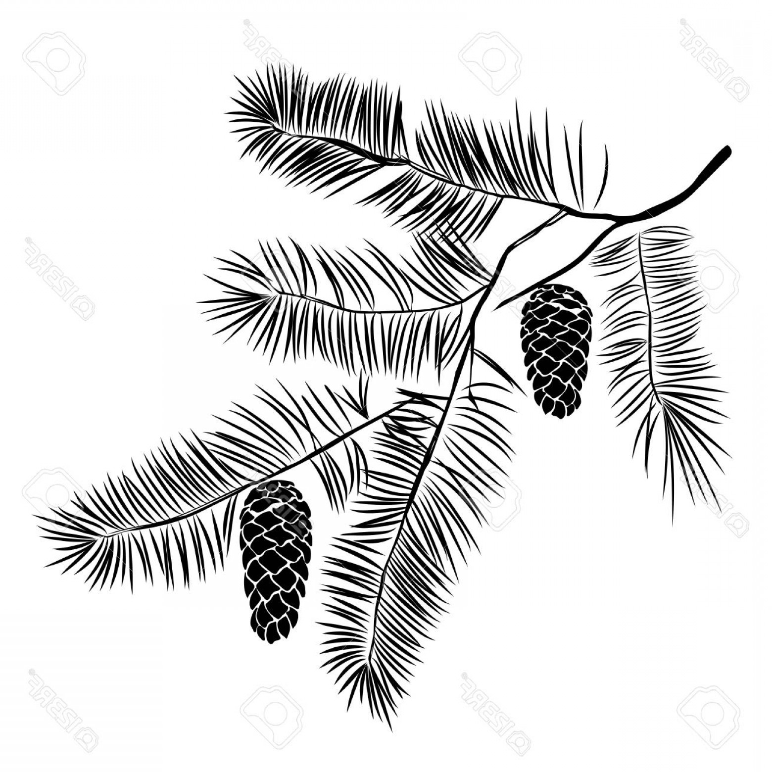 Pine Leaf Vector: Photostock Vector Hand Drawn Pine Tree Branch Isolated On White Background Ink Illustration In Vintage Engraved Style