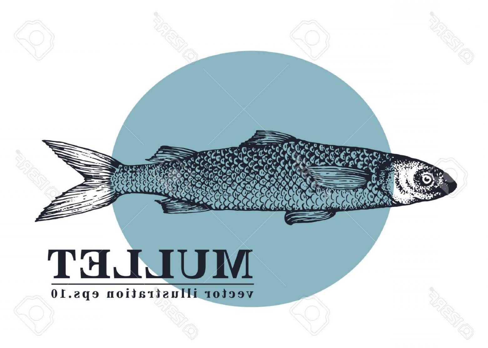 Mullet Vector Logo: Photostock Vector Hand Drawn Sketch Seafood Vector Vintage Illustration Of Mullet Fish Can Be Use For Menu Or Packagin