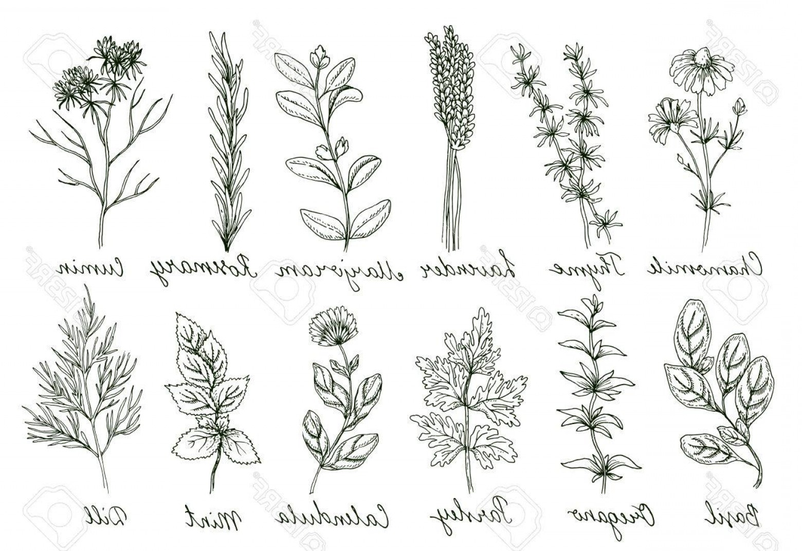 Botanical Flower Vectors: Photostock Vector Herbs And Spices Set Organic Healing Wild Flowers Vector Botanical Illustrations Doodle Floral Sketc