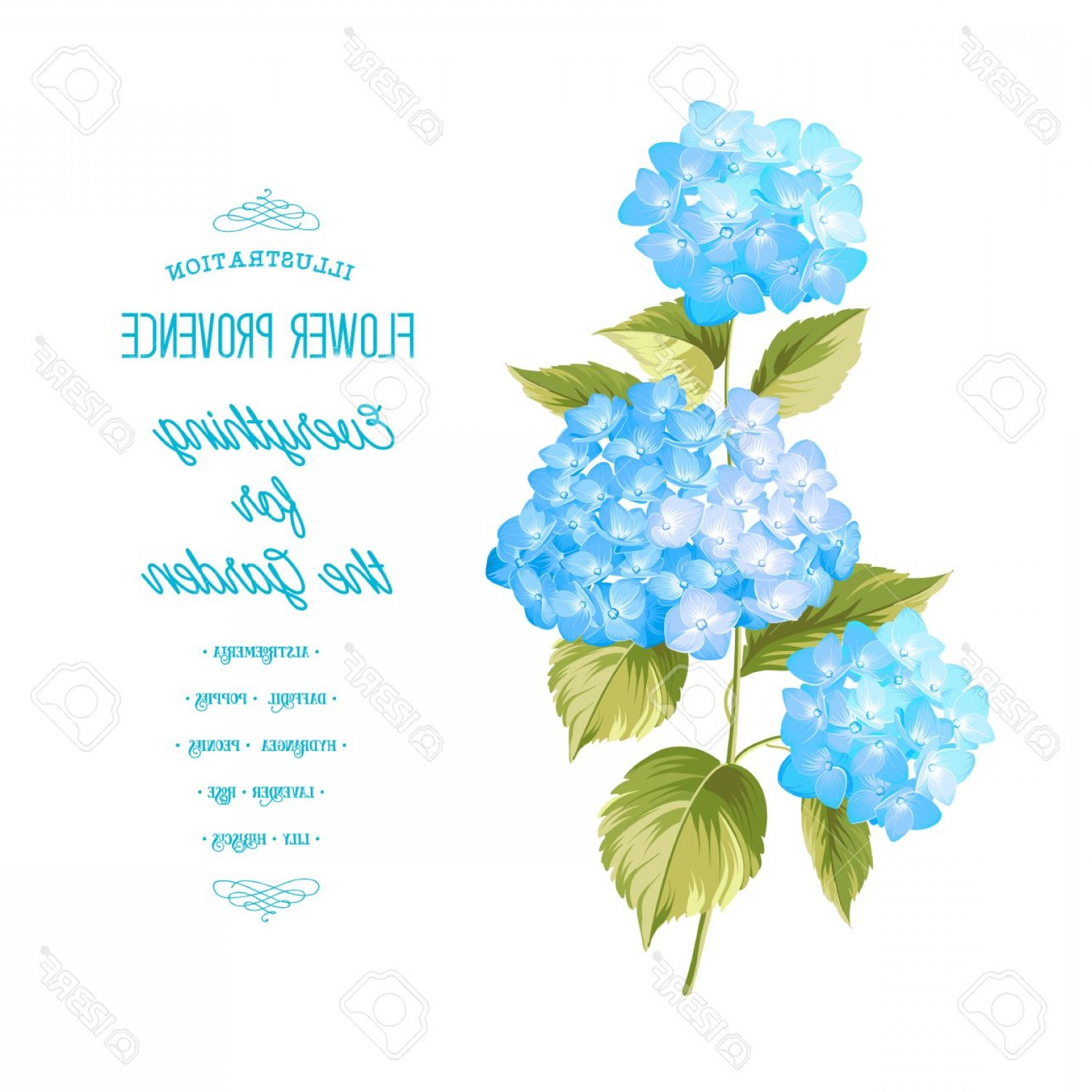 Hydrangea Vector Graphics: Photostock Vector Hortensia Flower Blue Realistic Hydrangea Illustration Of Flowers Vintage Art Can Be Used For Invita