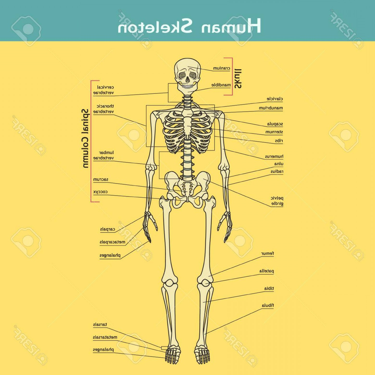 Knee Board Vector: Photostock Vector Illustration Of Skeletal System With Labels Human Skeleton Vector Illustration Didactic Board Of Hum