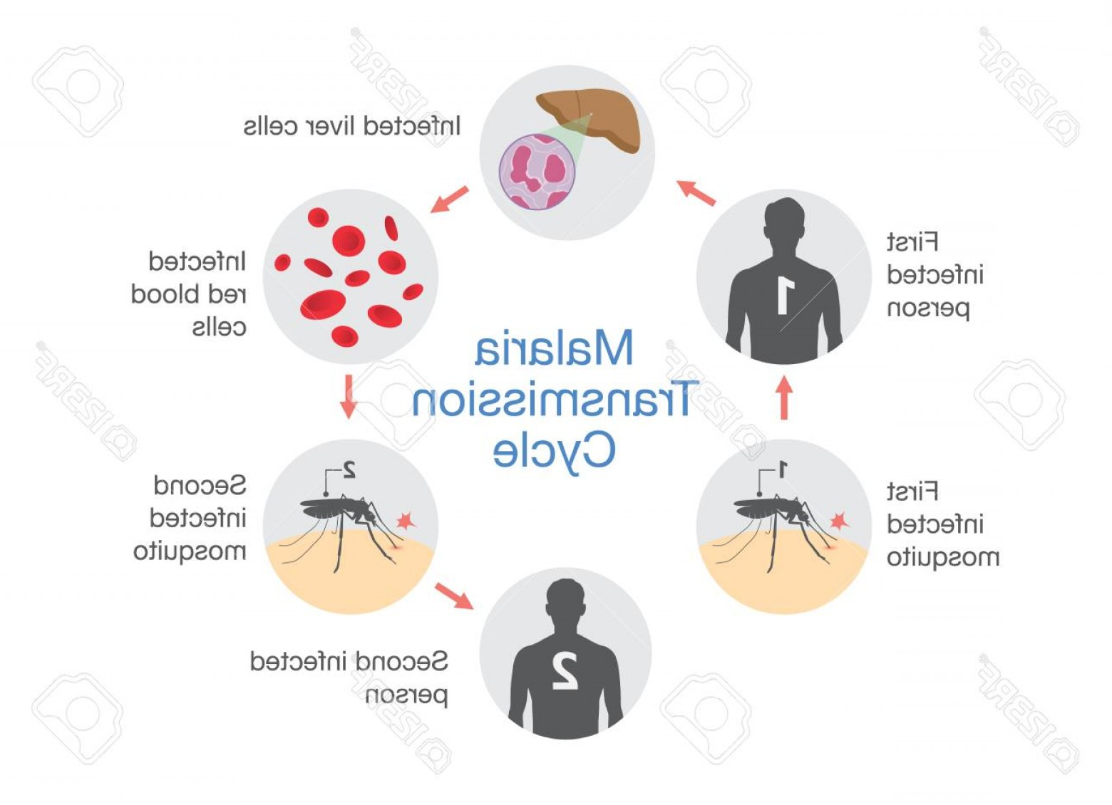 Vector Organisms On A Person: Photostock Vector Illustration Showing Malaria Transmission Cycle Step Of Infections In People With Mosquito