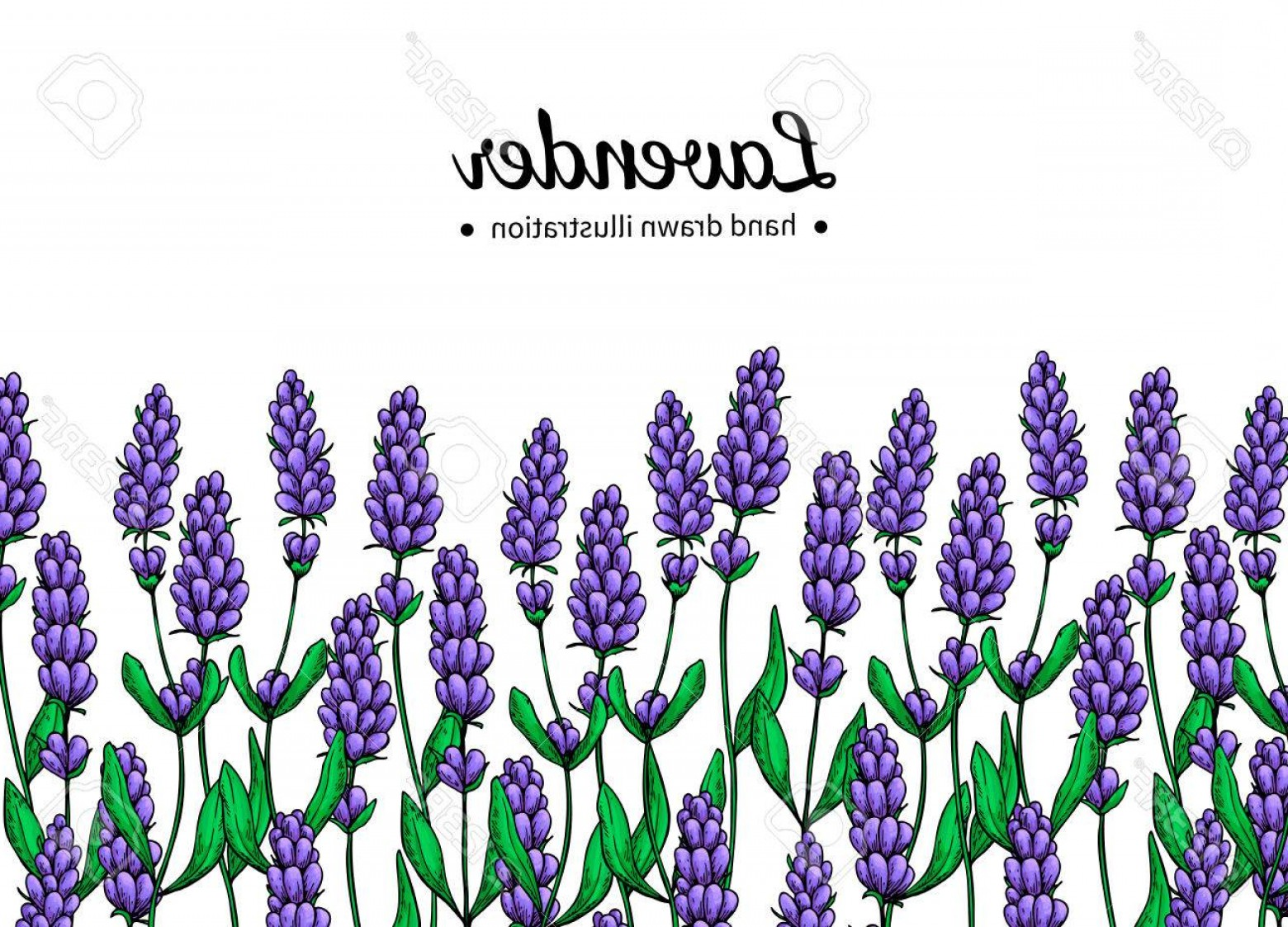 Lilac Vector Drawing: Photostock Vector Lavender Vector Drawing Border Isolated Wild Flower And Leaves Herbal Artistic Style Illustration