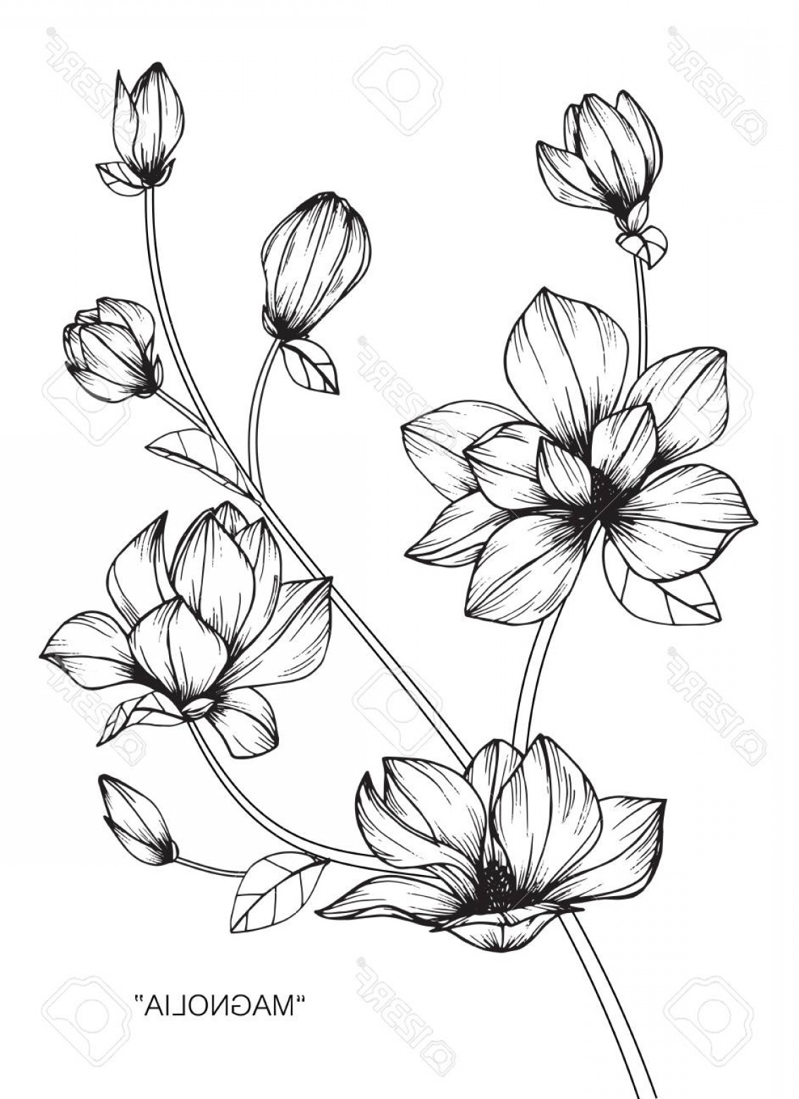 Magnolia Black And White Vector: Photostock Vector Magnolia Flower Drawing And Sketch With Black And White Line Art