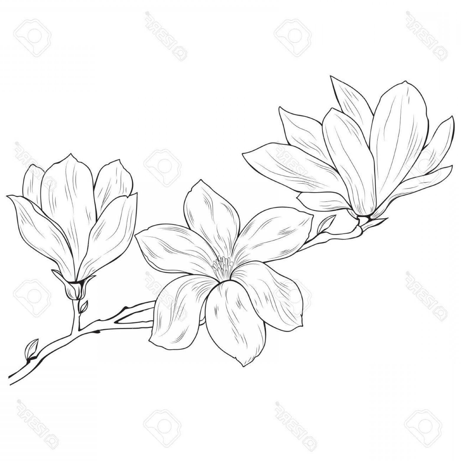 Magnolia Black And White Vector: Photostock Vector Magnolia Flowers On A Tree Branch Sketch Black On White Background