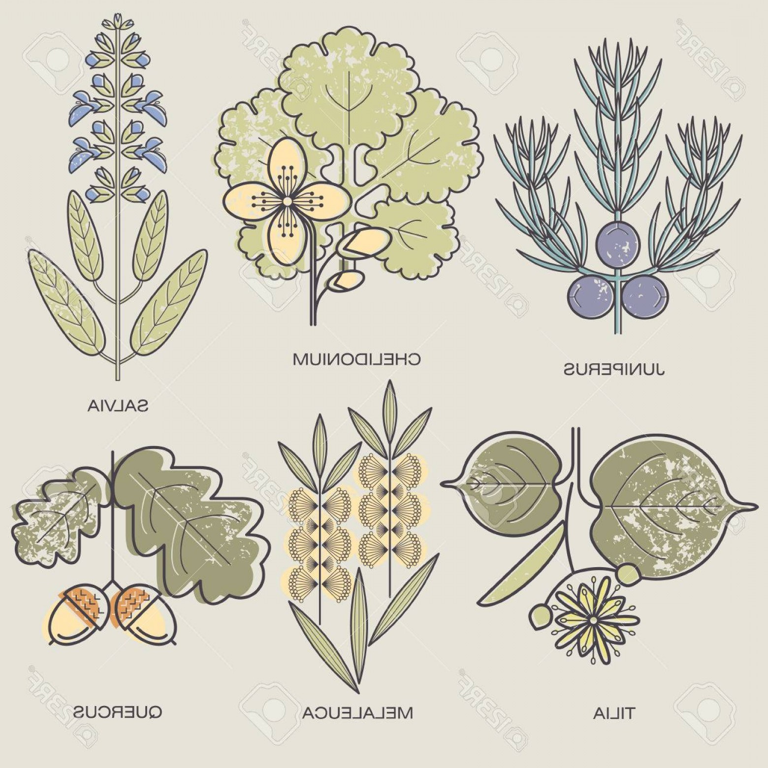 Sage Plant Vector: Photostock Vector Medicinal Herbs Juniper Branch Celandine Sage Linden Flower Tea Tree Oak Fruit Vector Illustration S