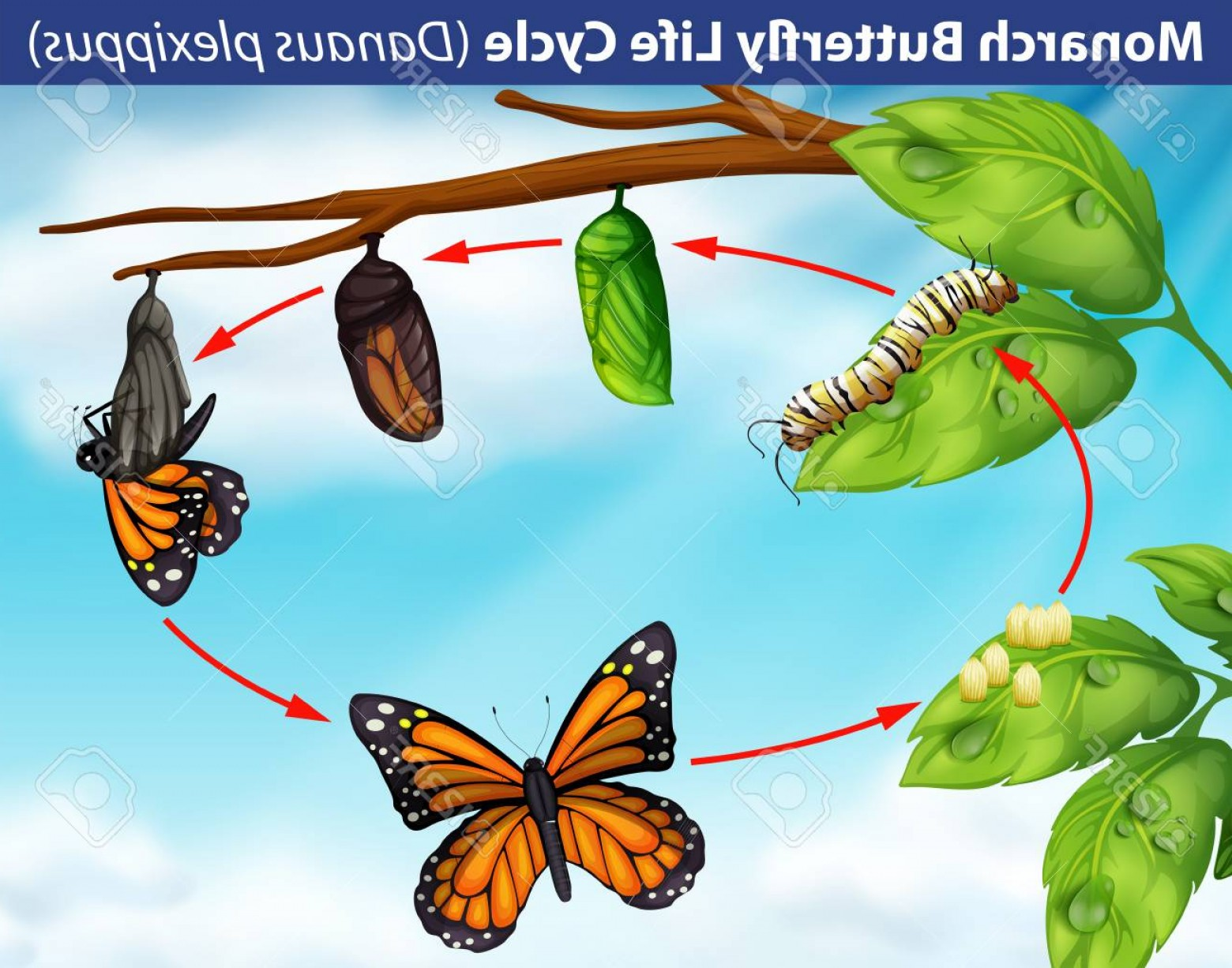 Real Butterfly Vector: Photostock Vector Monarch Butterfly Life Cycle Illustration