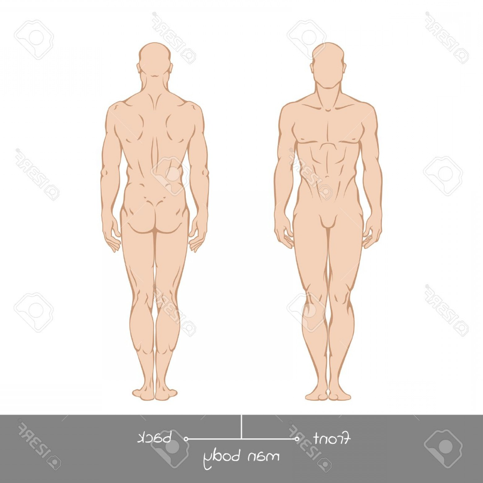 Male Human Vector: Photostock Vector Muscular Young Man From Front And Back View Healthy Male Body Shapes Outline Colored Illustration Wi