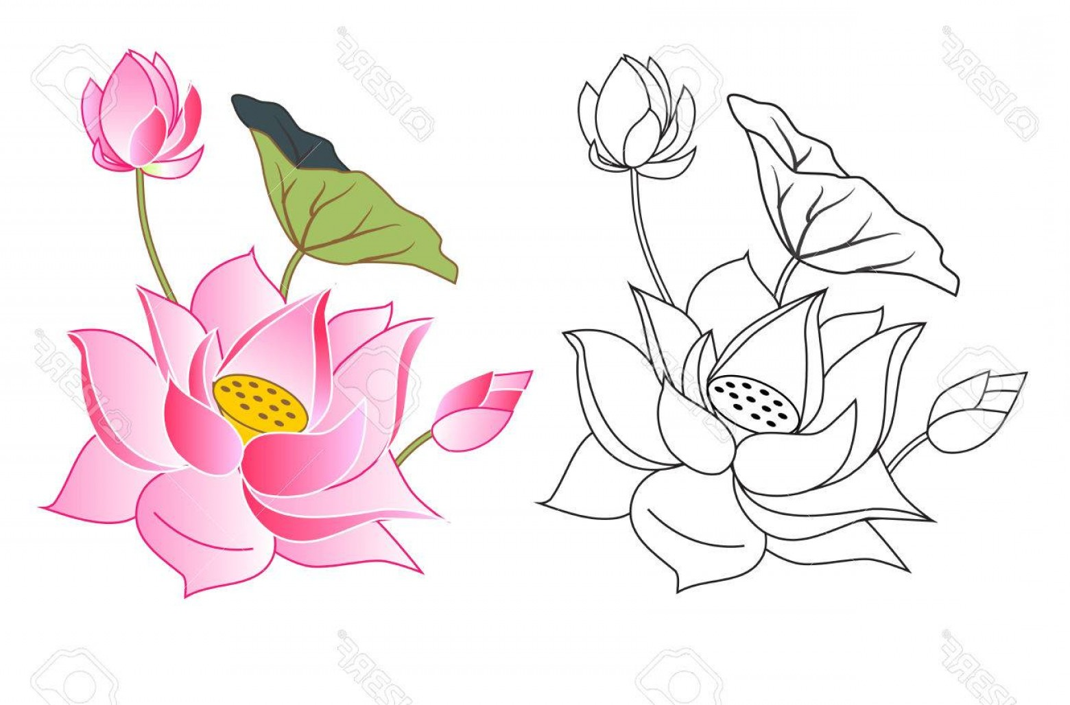 Bud Vector: Photostock Vector Pink Lotus Flowers And Bud Coloring Vector Illustration