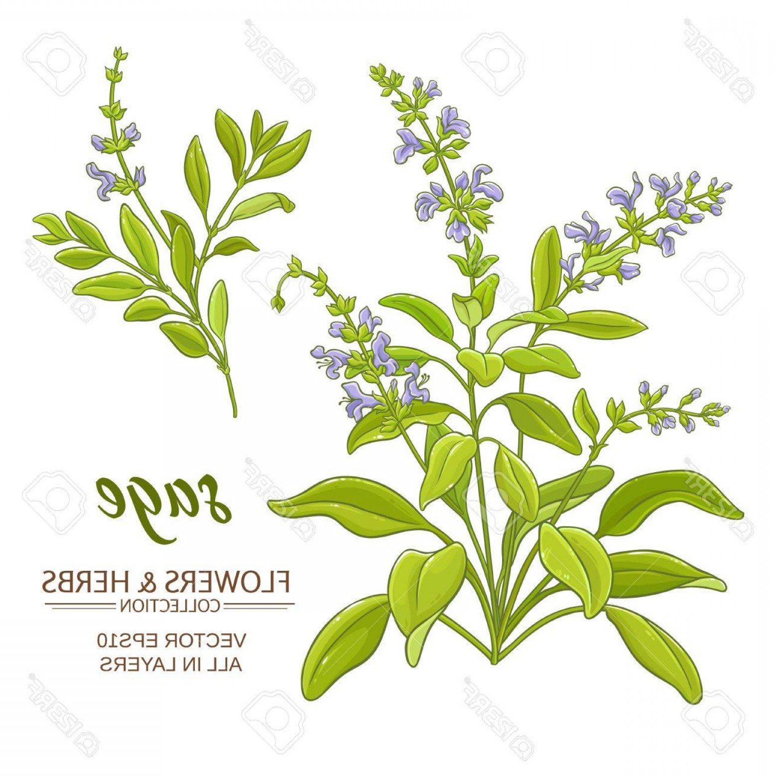 Sage Plant Vector: Photostock Vector Sage Plant Vector Illustration On White Background