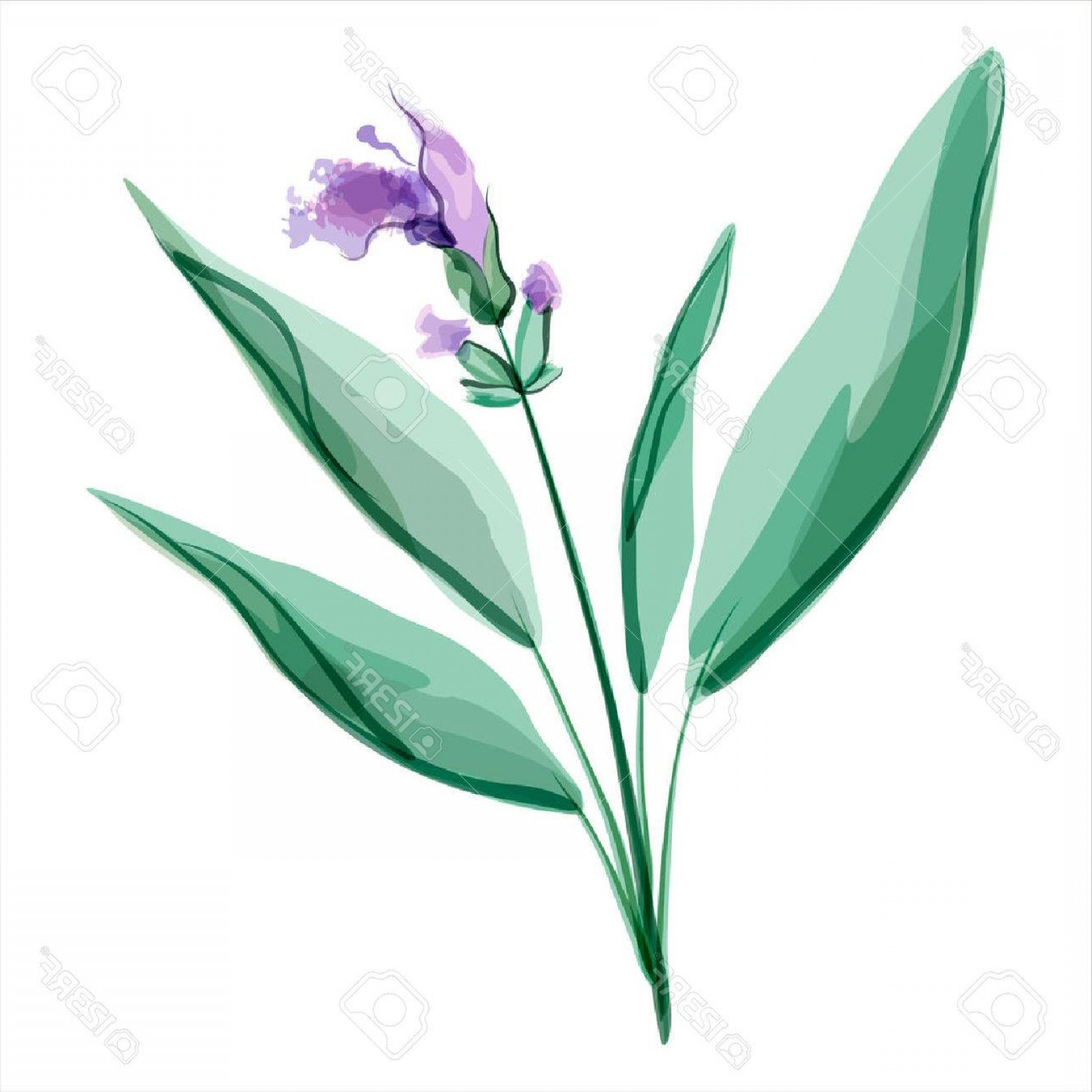 Sage Plant Vector: Photostock Vector Sage Salvia Meadow Flower Vector Illustration