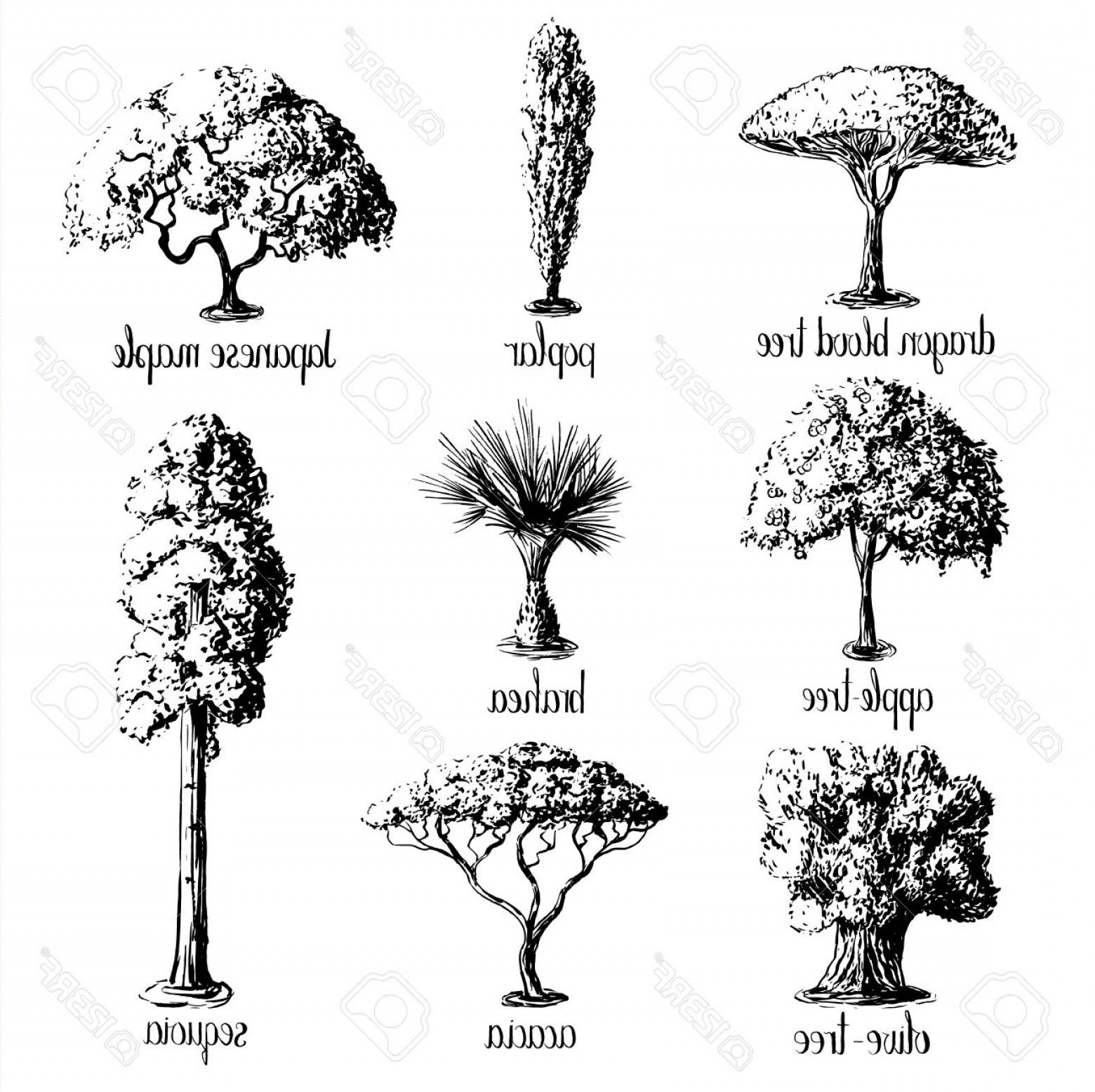 Apple Tree Vector Black: Photostock Vector Set Of Hand Drawn Tree Sketches Apple Tree Olive Japanese Maple Acacia Brahea Poplar Sequoia Dragon