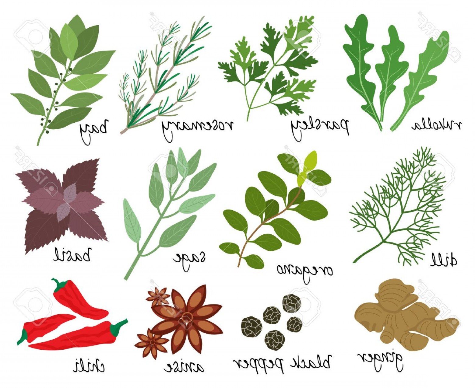 Sage Plant Vector: Photostock Vector Set Of Vector Illustrations Of Herbs And Spices With Sprigs Of Fresh Rosemary Rocket Parsley Bay Lea