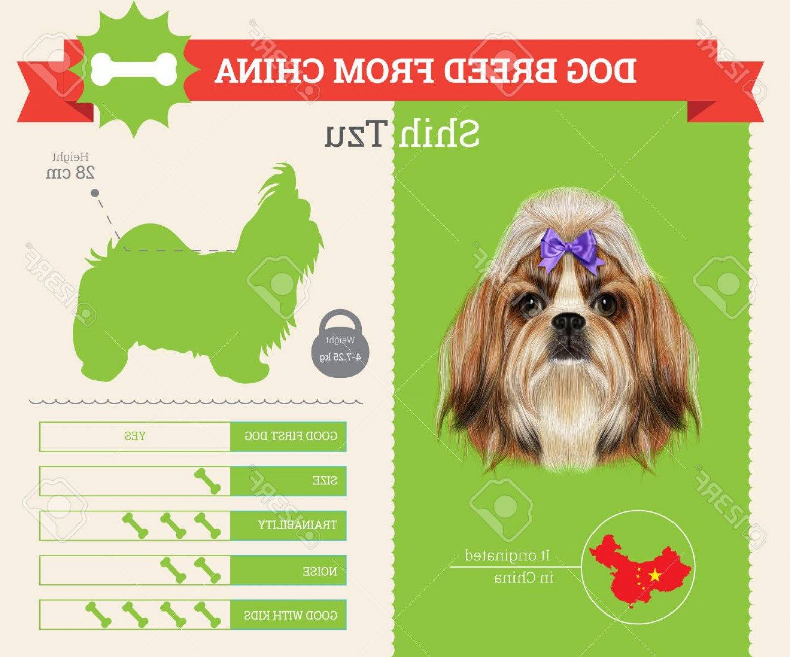 Shih Tzu Vector Siluete: Photostock Vector Shih Tzu Dog Breed Vector Infographics This Dog Breed From China