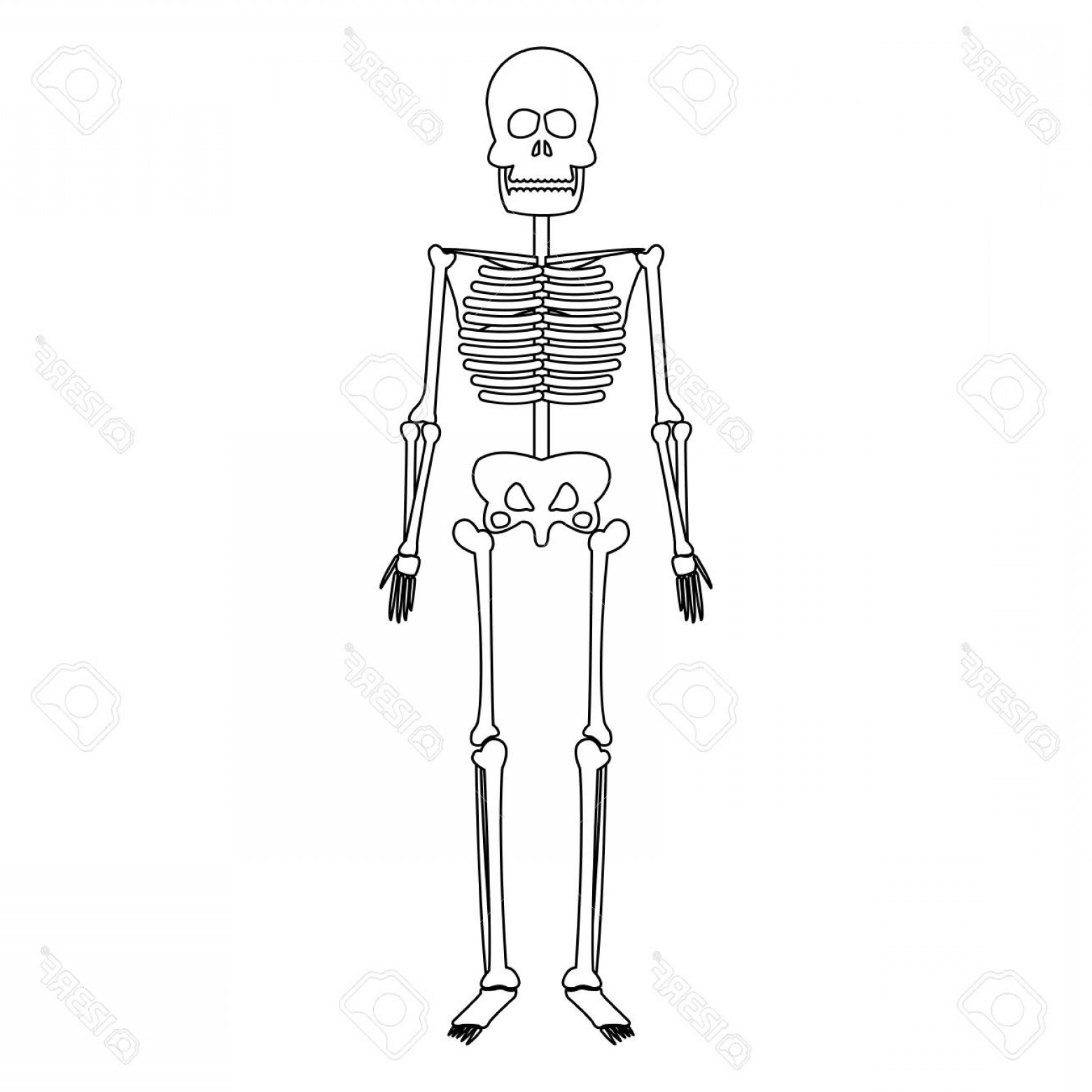 Line Art Human Body Skeleton Labeled Bones Of The Vector: Photostock Vector Skeleton Human Bones Skull Medicine Line Vector Illustration