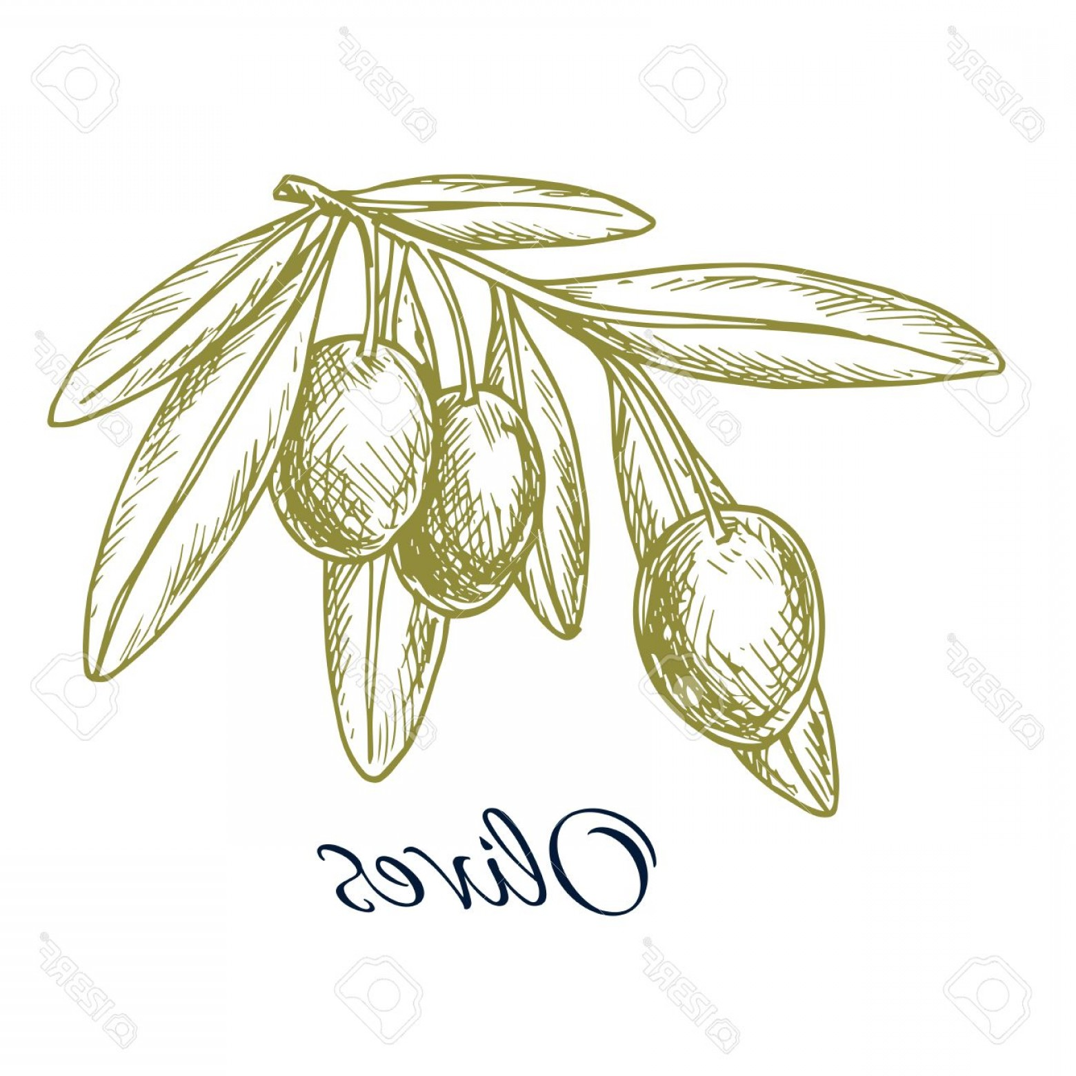 Olive Vector: Photostock Vector Sketch Of Green Olives Vector Isolated Icon Of Olive Branch With Green Olive Fruits Design Or Symbol