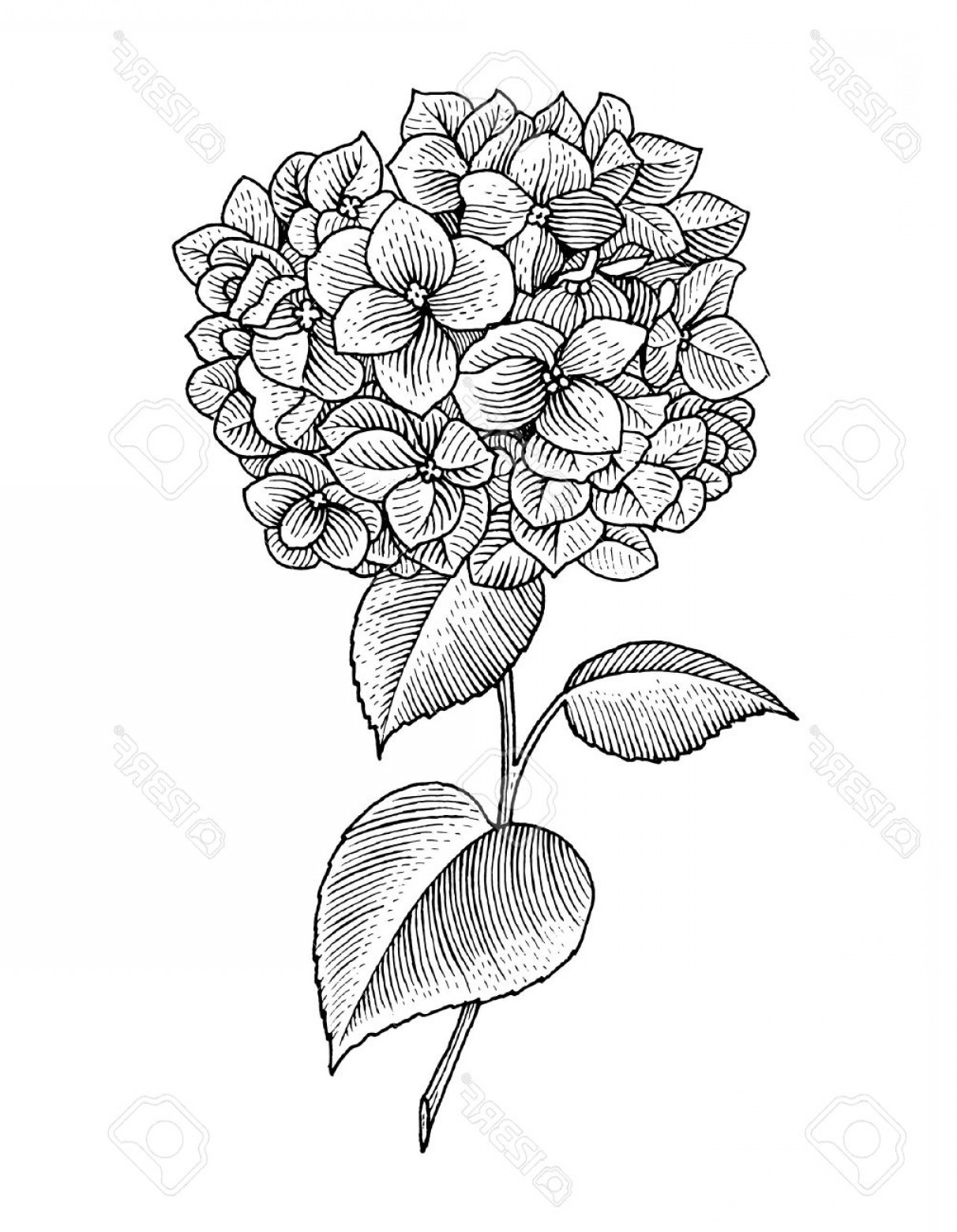 Hydrangea Vector Graphics: Photostock Vector Sprig Of Blooming Hydrangea Black And White Graphics