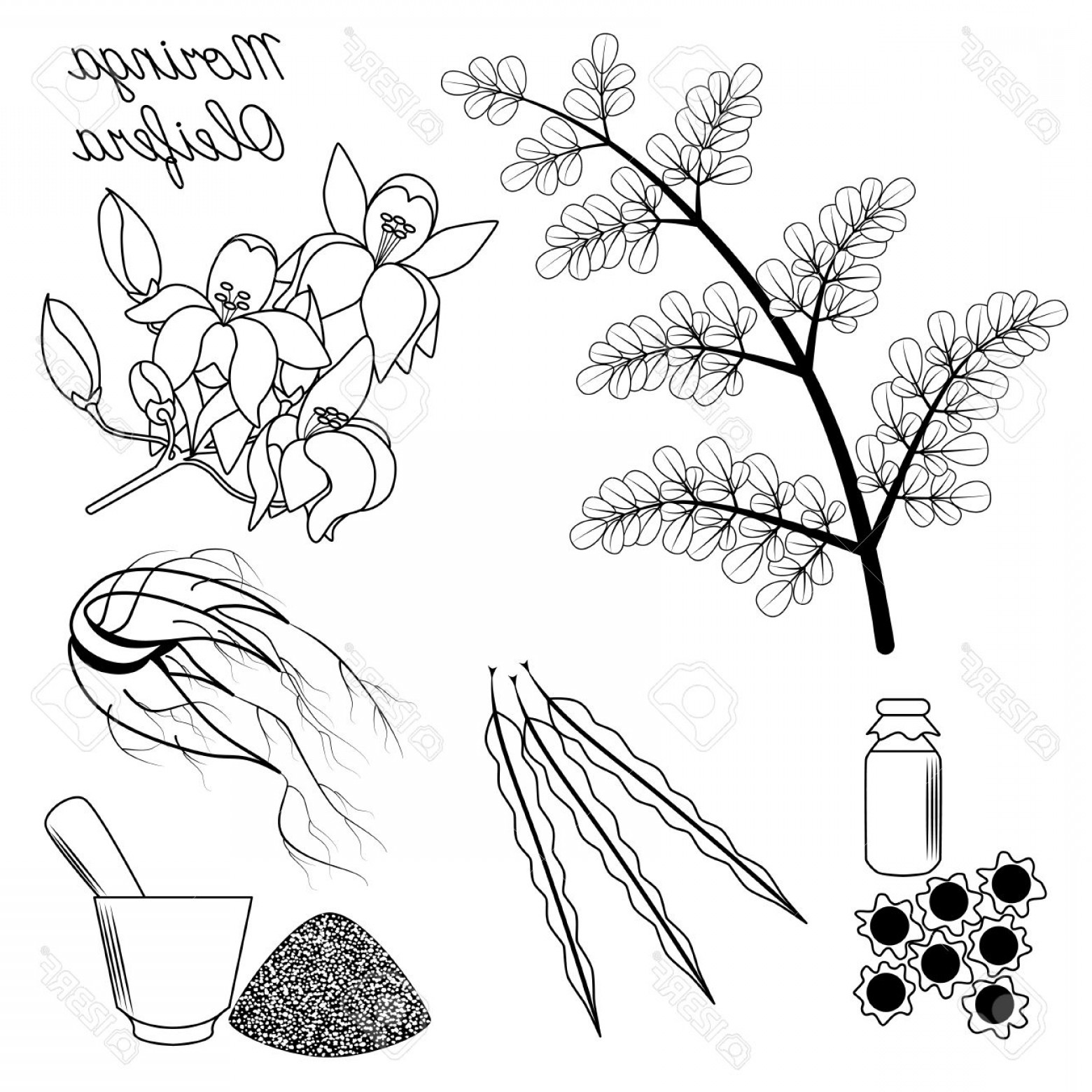 Seed Flower Vectors: Photostock Vector Superfood Moringa Set Of Leaves Flowers Seeds And Root On Isolated Background
