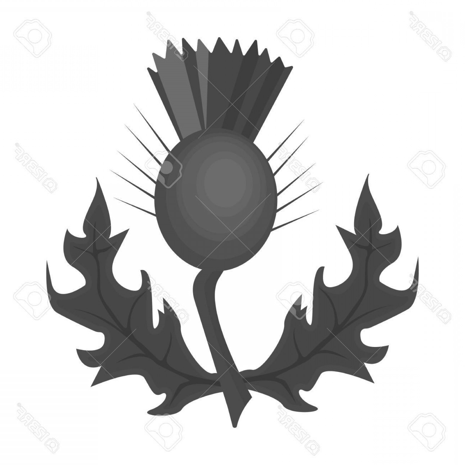Scotland Heraldic Vector Graphic: Photostock Vector Thistles With Green Leaves Medicinal Plant Of Scotland Scotland Single Icon In Monochrome Style Vect
